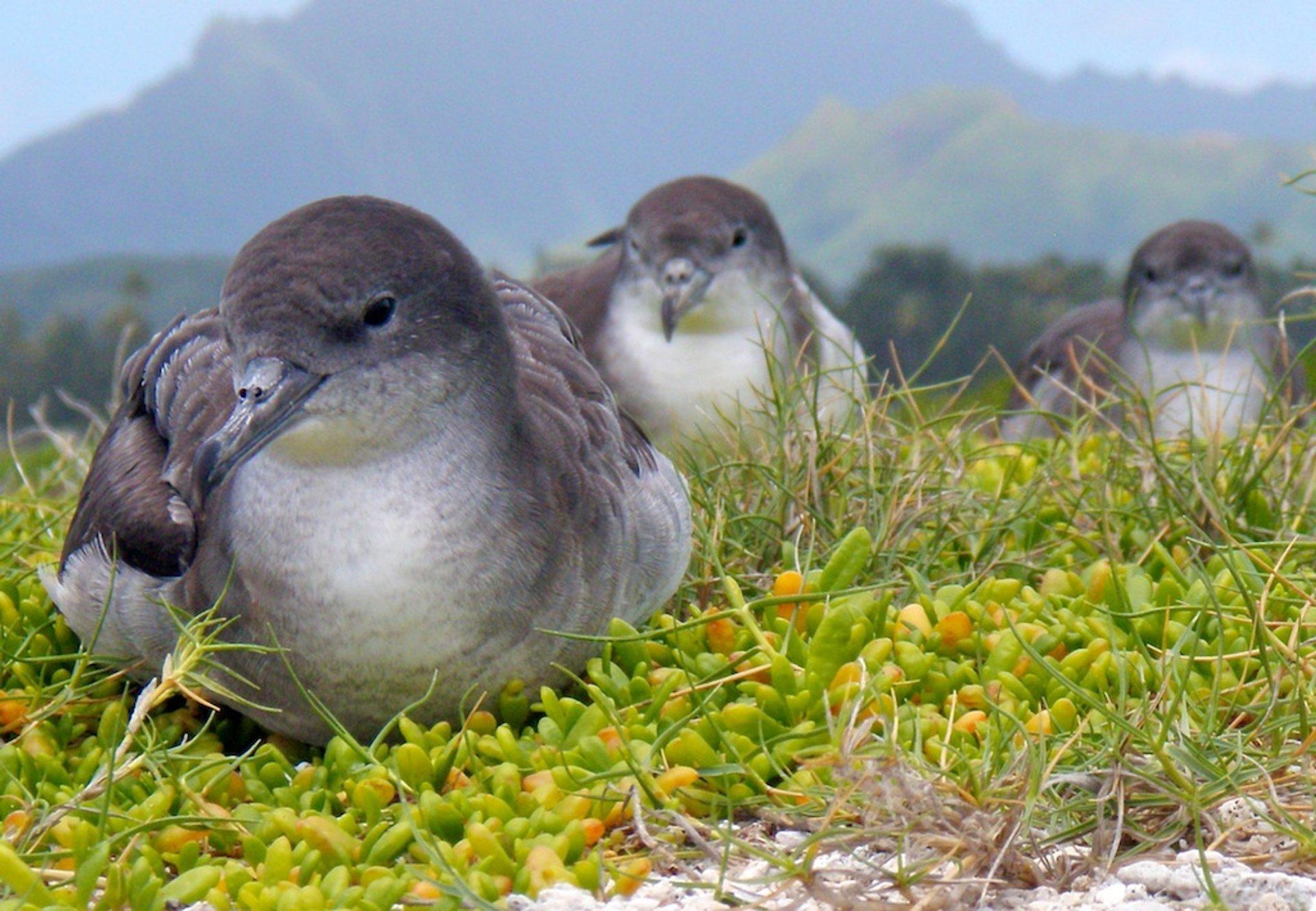 Shearwater nesting 2020
