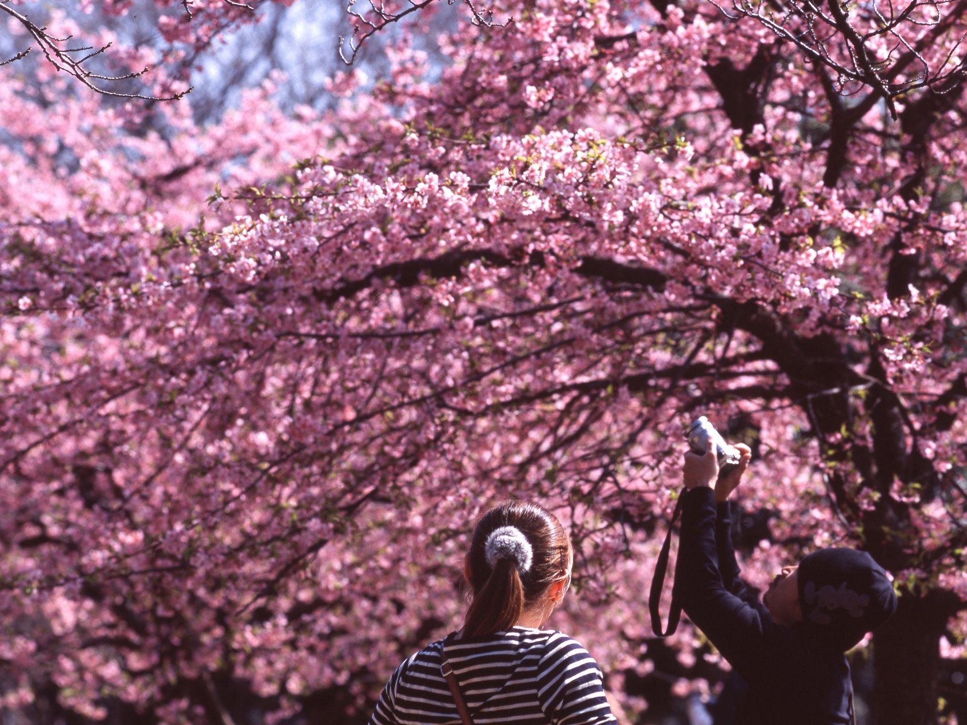 Cherry Blossom in Tokyo - Best Season 2020