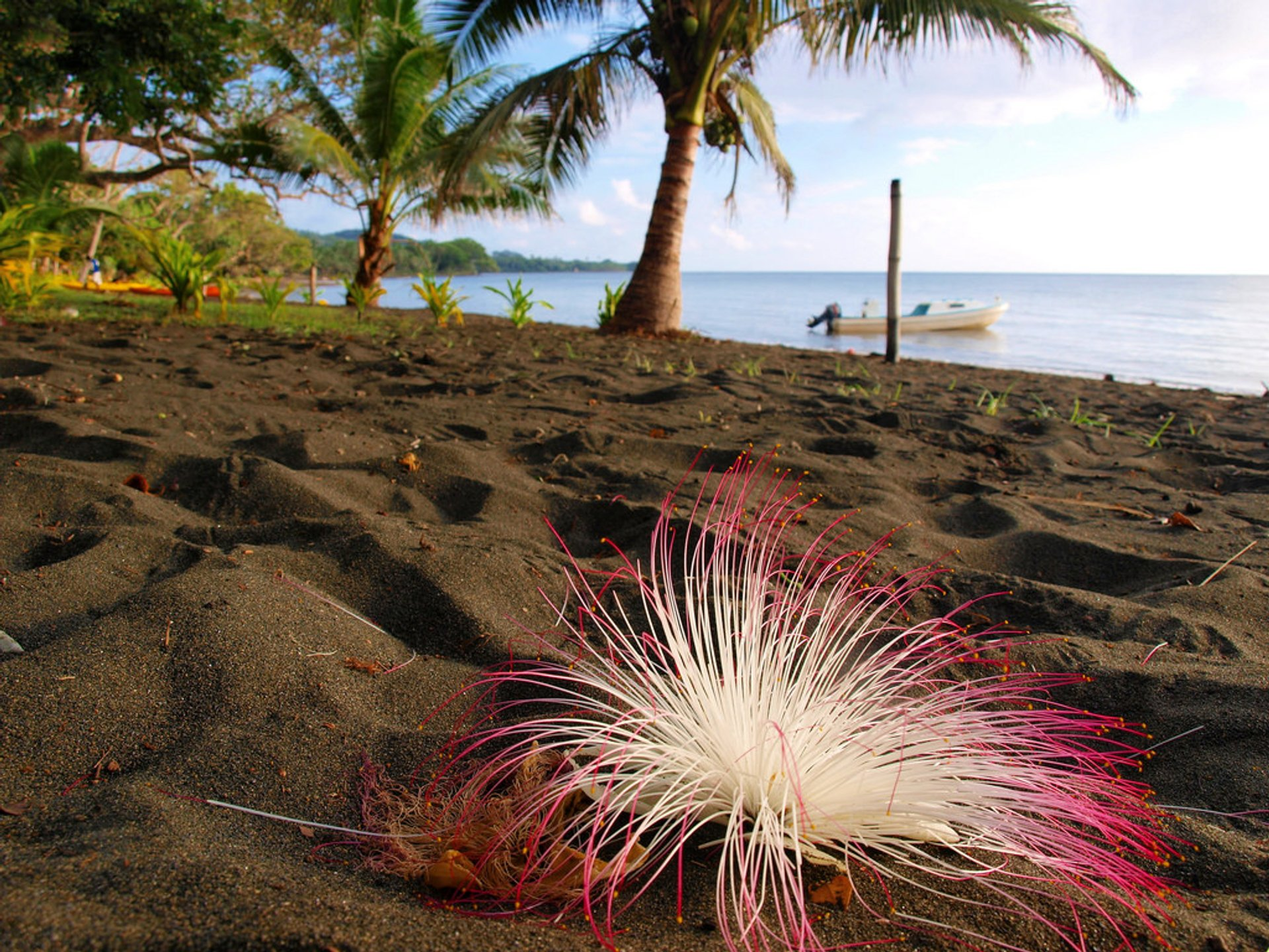 Fish Poison Tree (Vutu) in Fiji - Best Time
