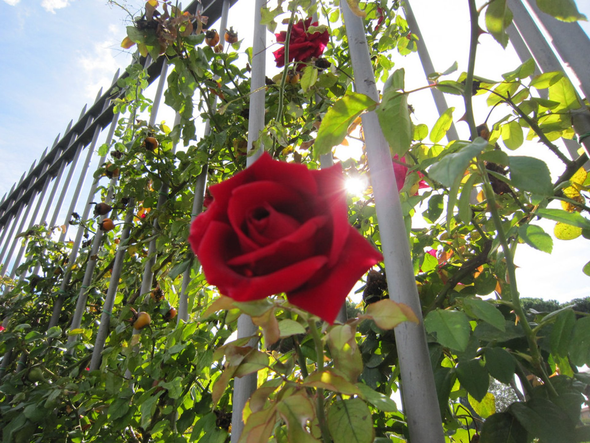 Roses at Roseto Comunale in Rome - Best Season 2019