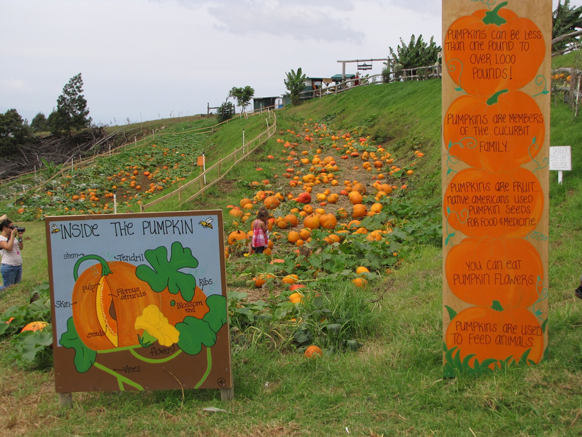 Pumpkin patch and facts at Kula Country Farms, Maui, Hawaii 2020