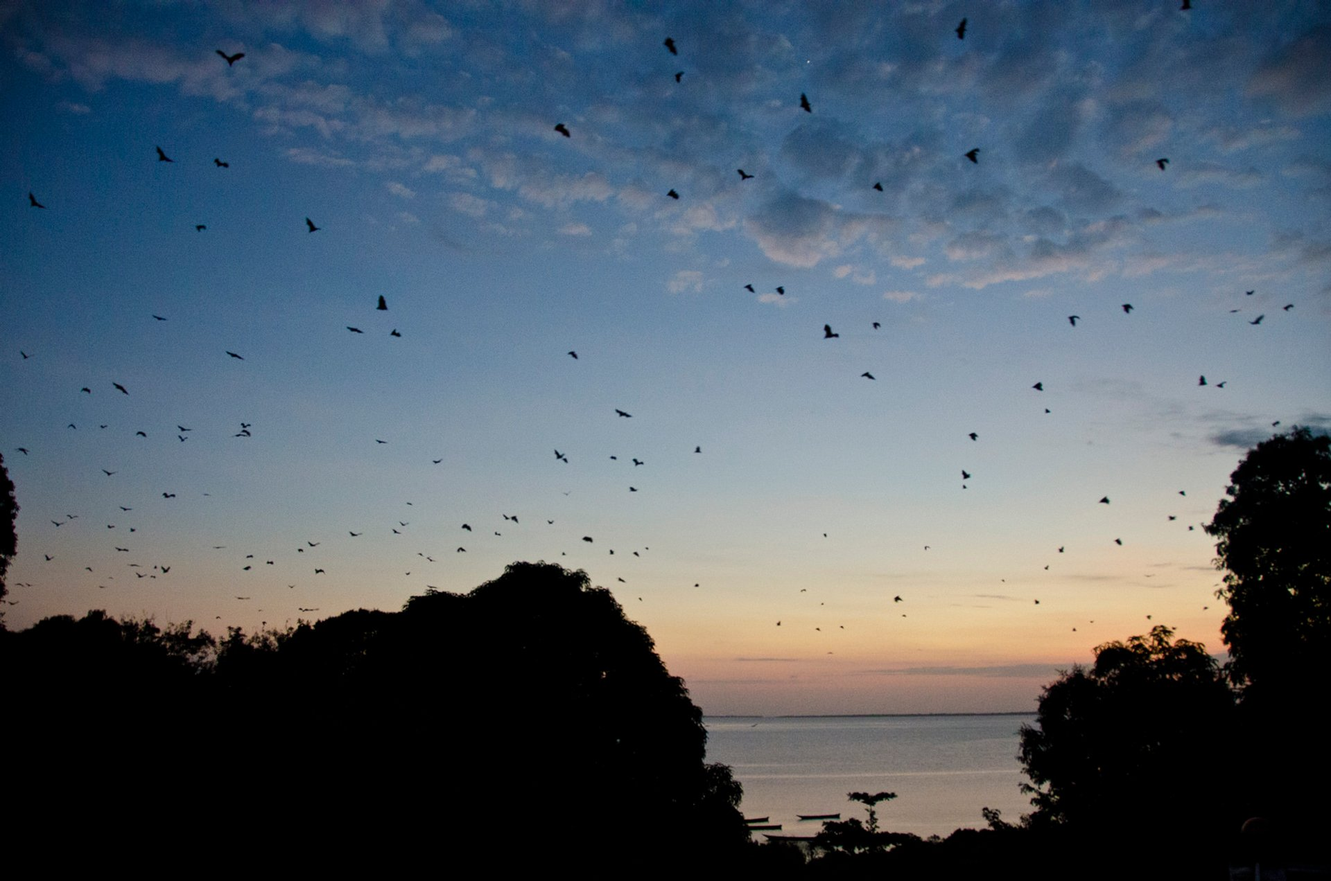 Pemba - Flying foxes (bats on a hunt for mangos) 2020