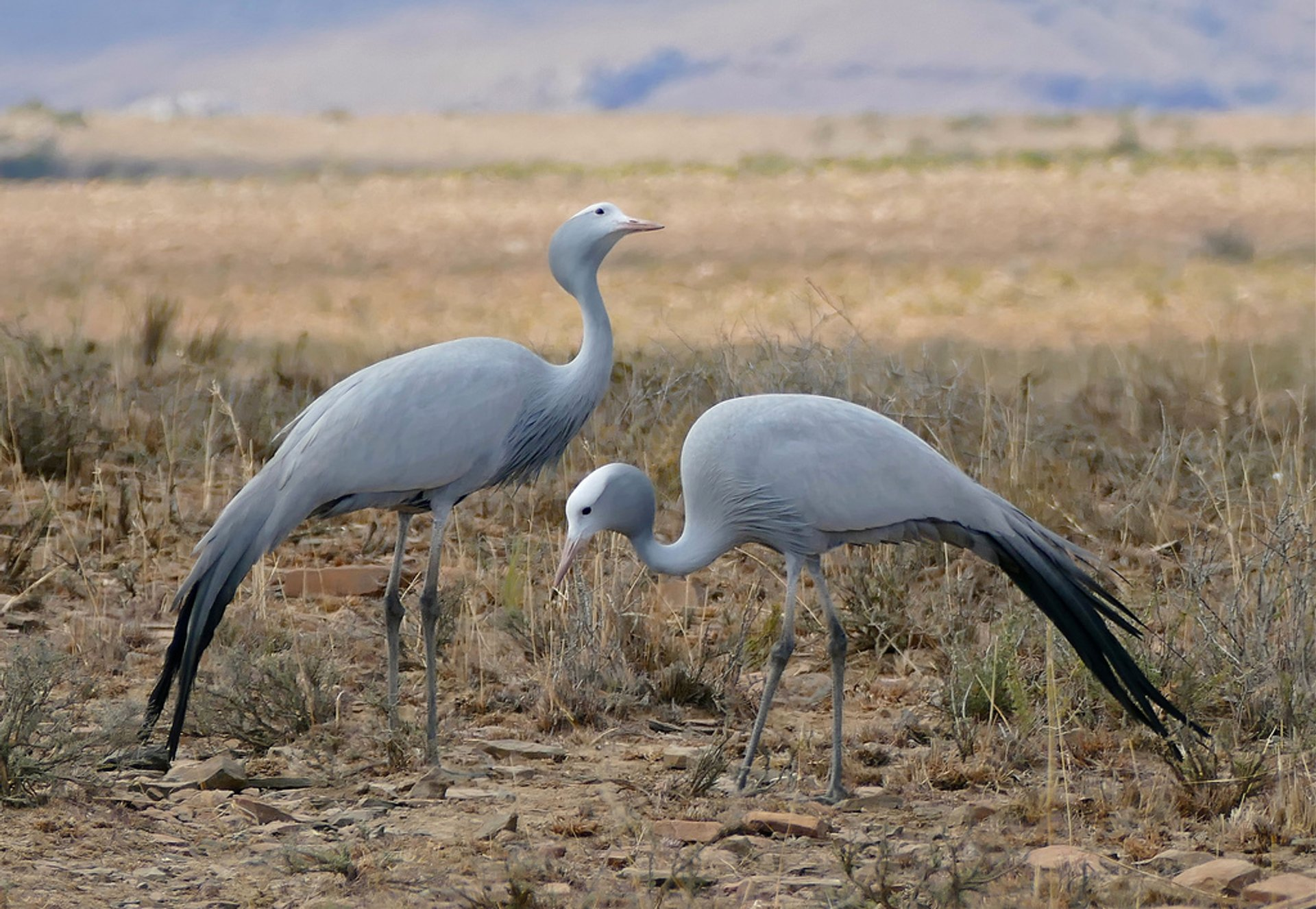 Blue cranes in Mountain Zebra NP, Eastern Cape, South Africa 2019