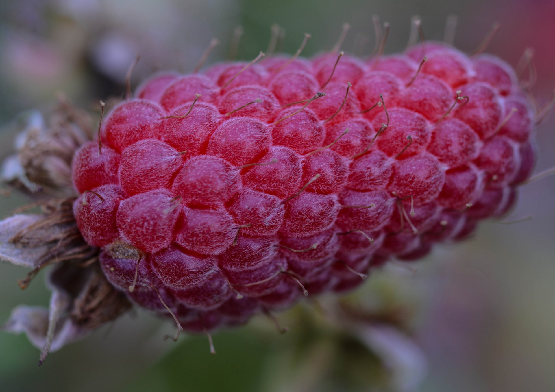 Loganberries in Ireland 2019 - Best Time