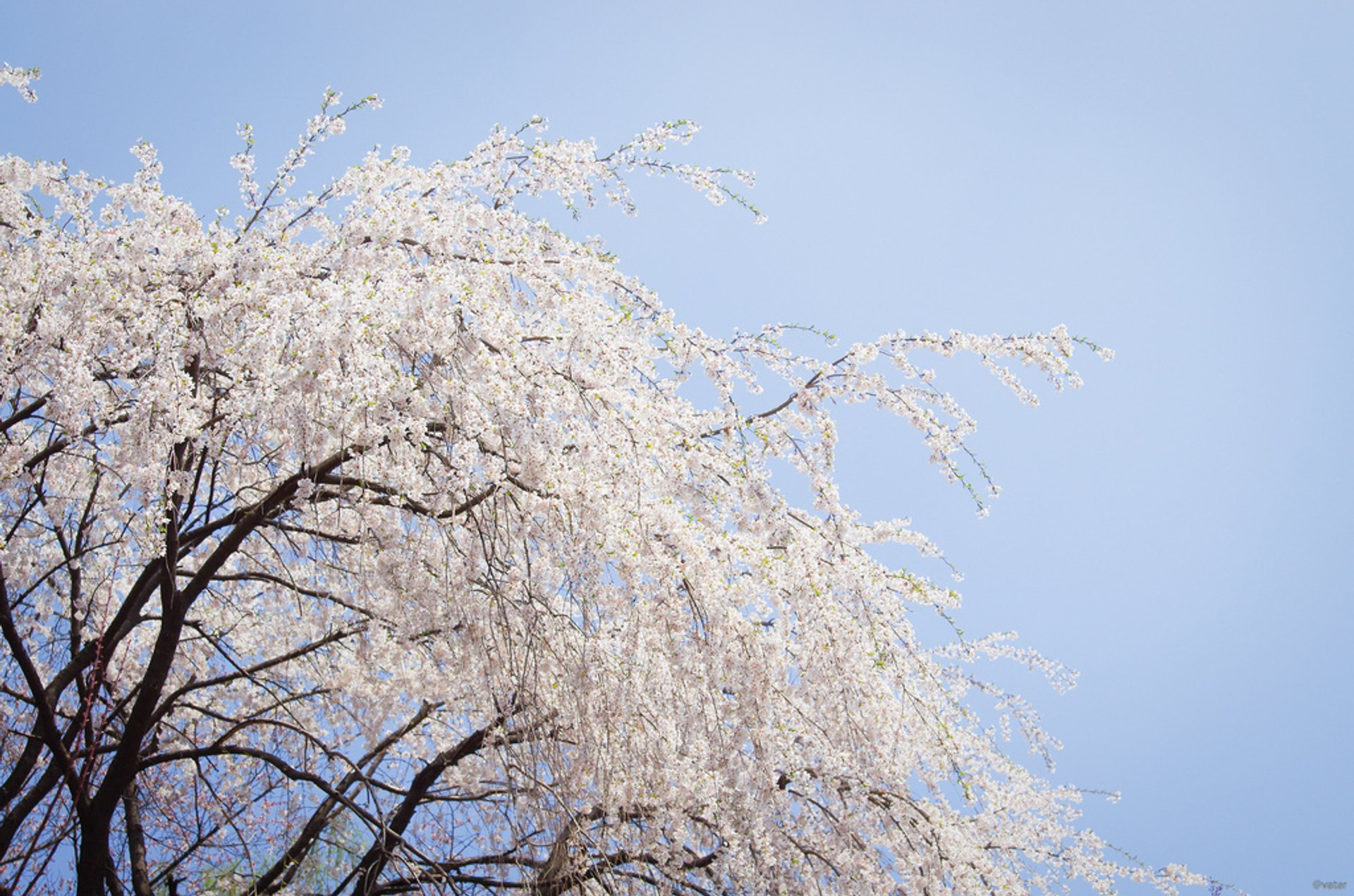 Weeping Cherry Blossoms in Seoul 2020 - Best Time
