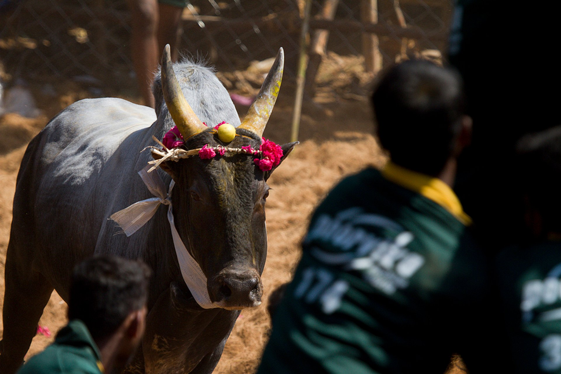Jallikattu in India - Best Season 2020