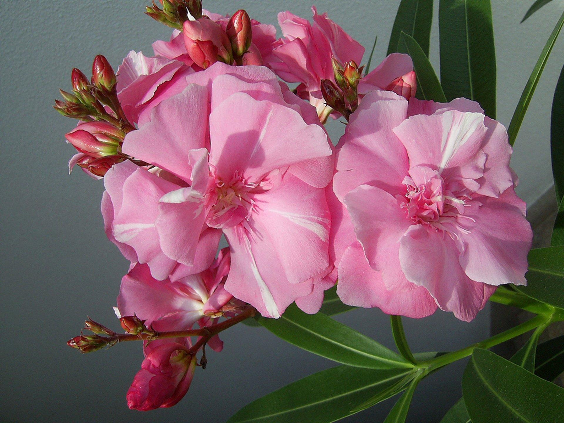 Oleander 2020