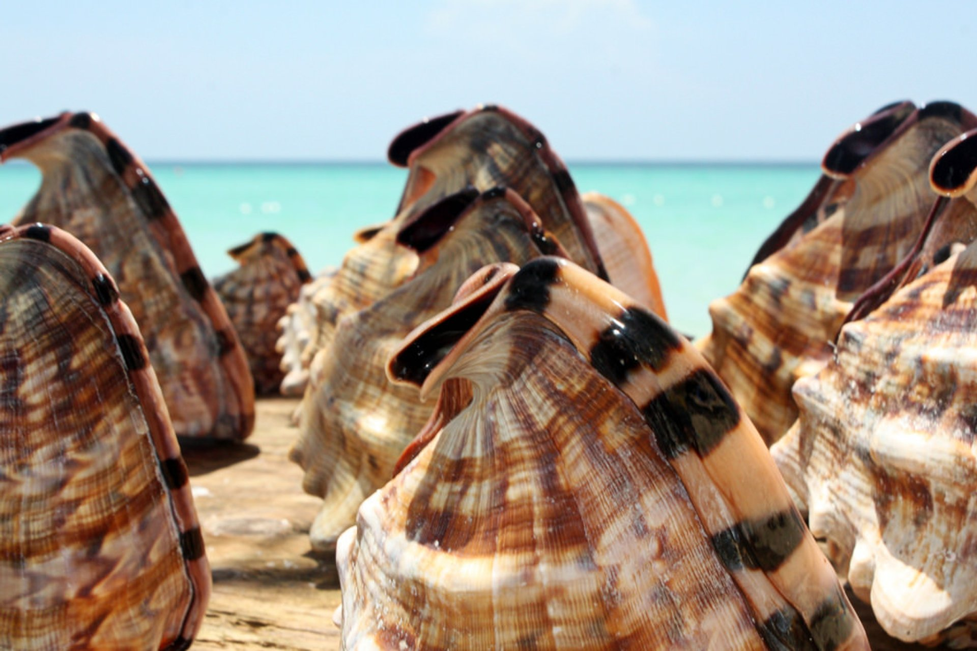 Queen Conch Season in Jamaica - Best Season 2020