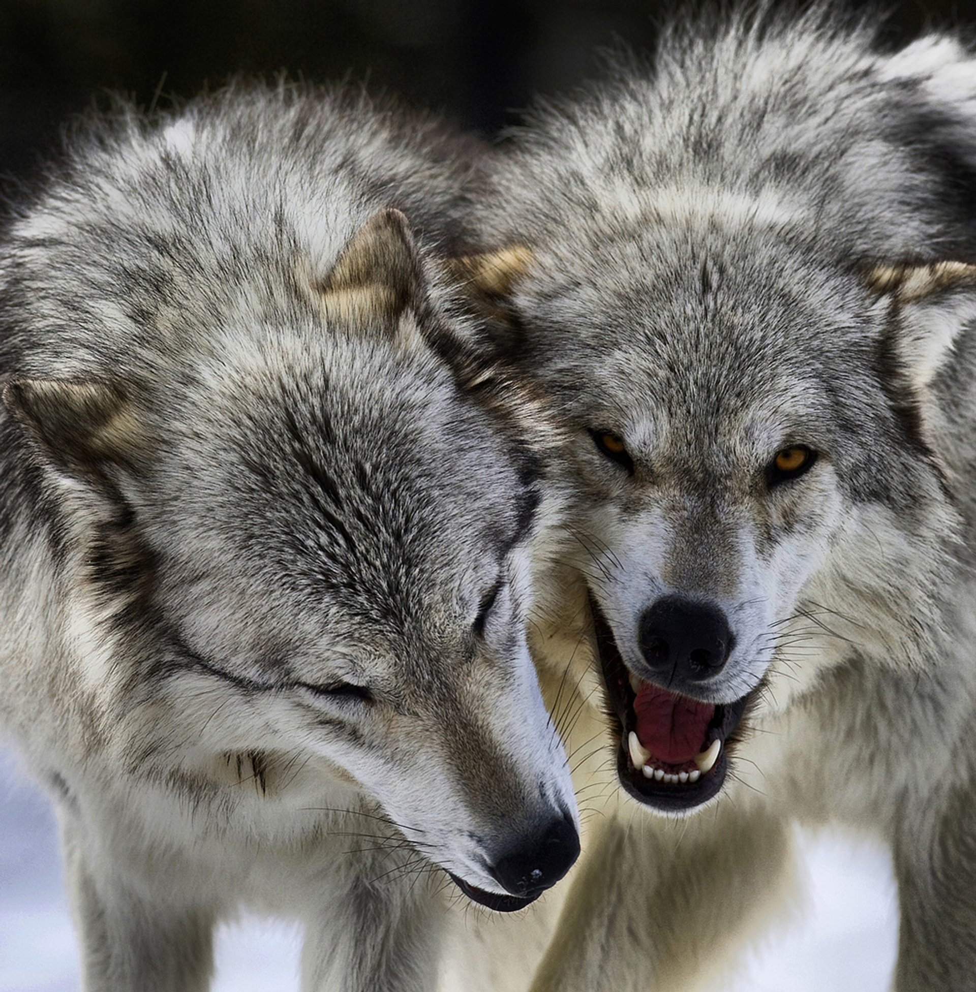 Best time for Wolves in Yellowstone National Park