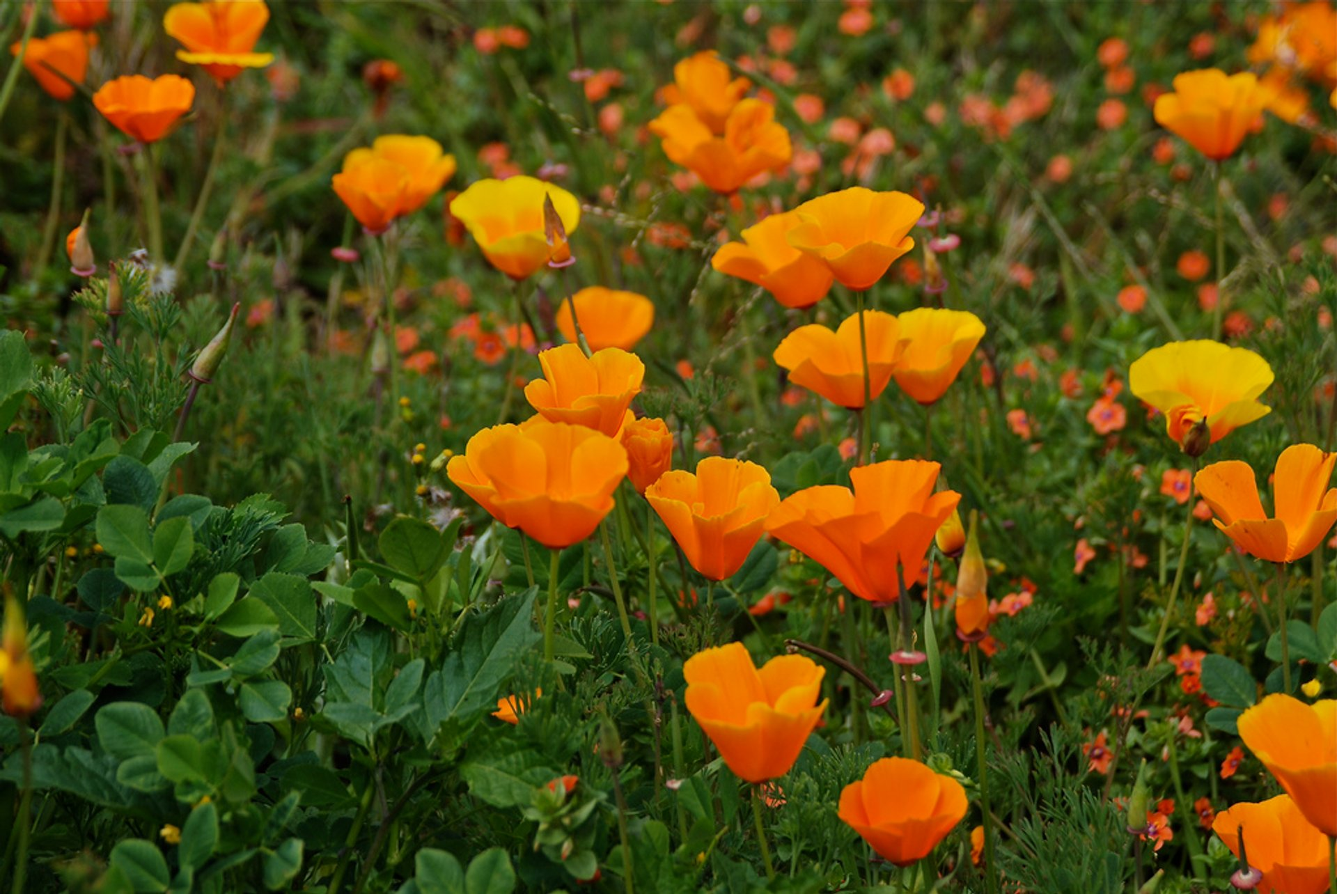 California Poppies 2020