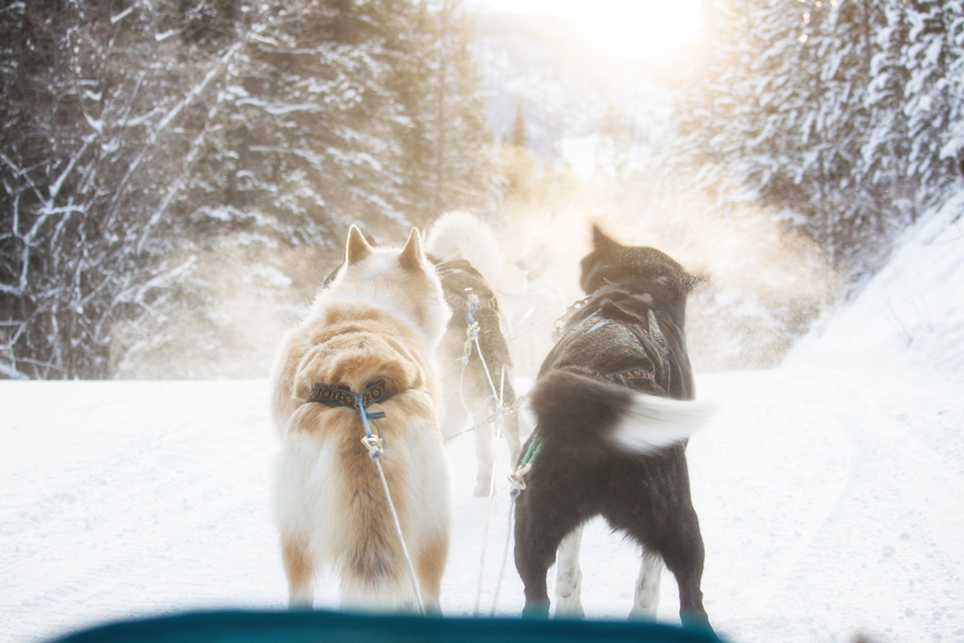 Dog Sledding in Banff & Jasper National Parks 2019 - Best Time