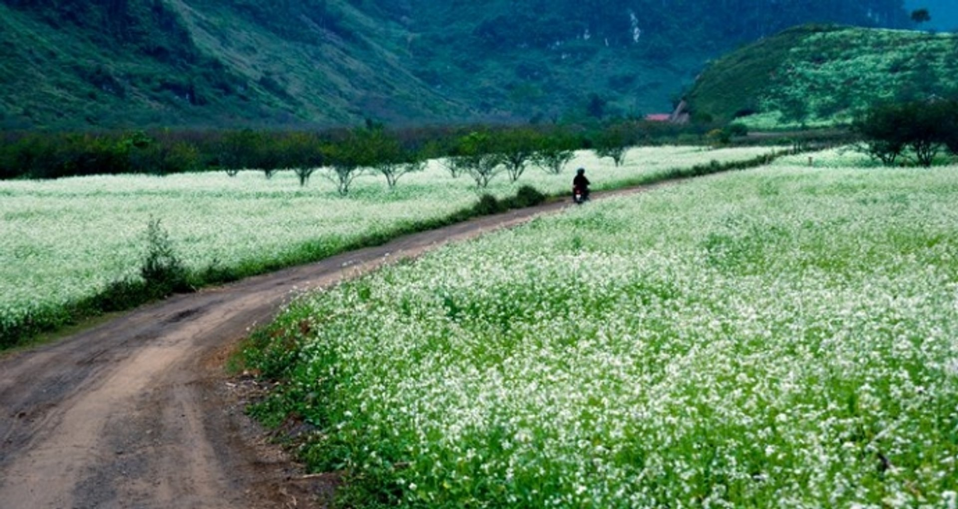 Cauliflower Blooming Season in Vietnam 2020 - Best Time