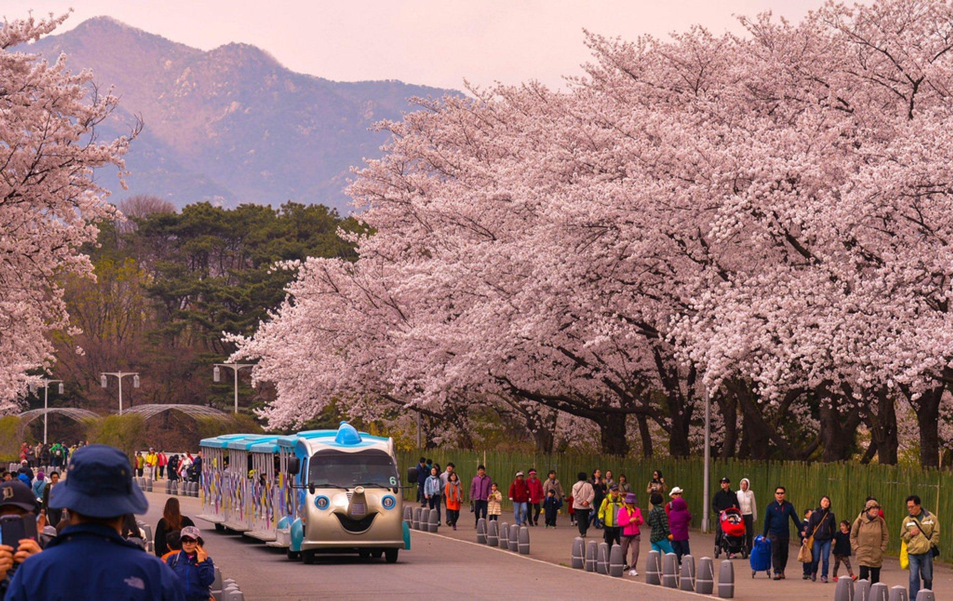 Hangang Yeouido Spring Flower Festival in Seoul - Best Season 2019
