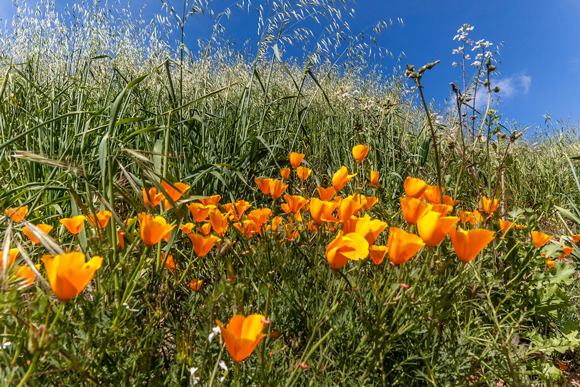 Poppy Bloom at Chino Hills State Park in Los Angeles - Best Season