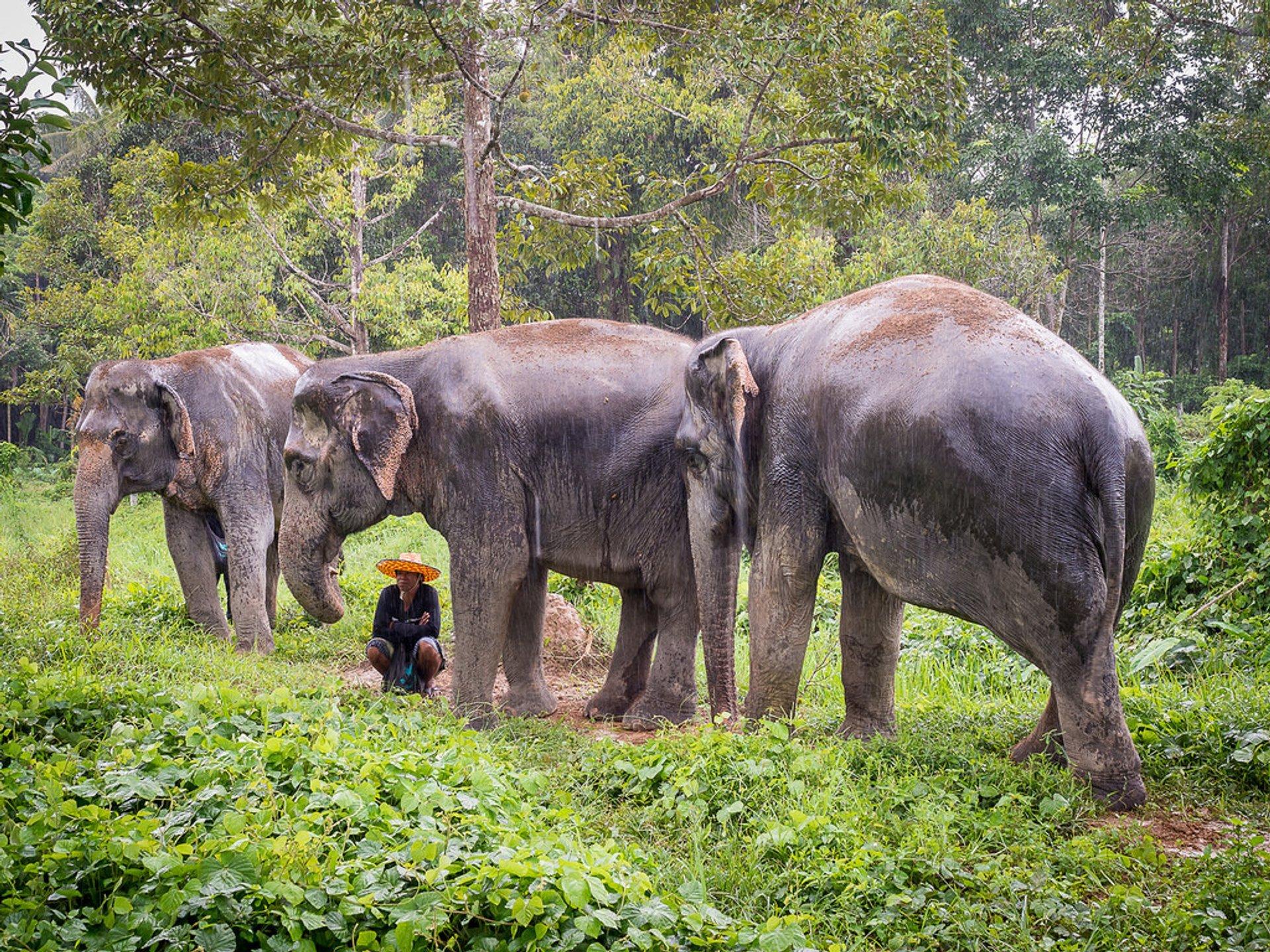 Elephant Sanctuaries in Phuket 2020 - Best Time