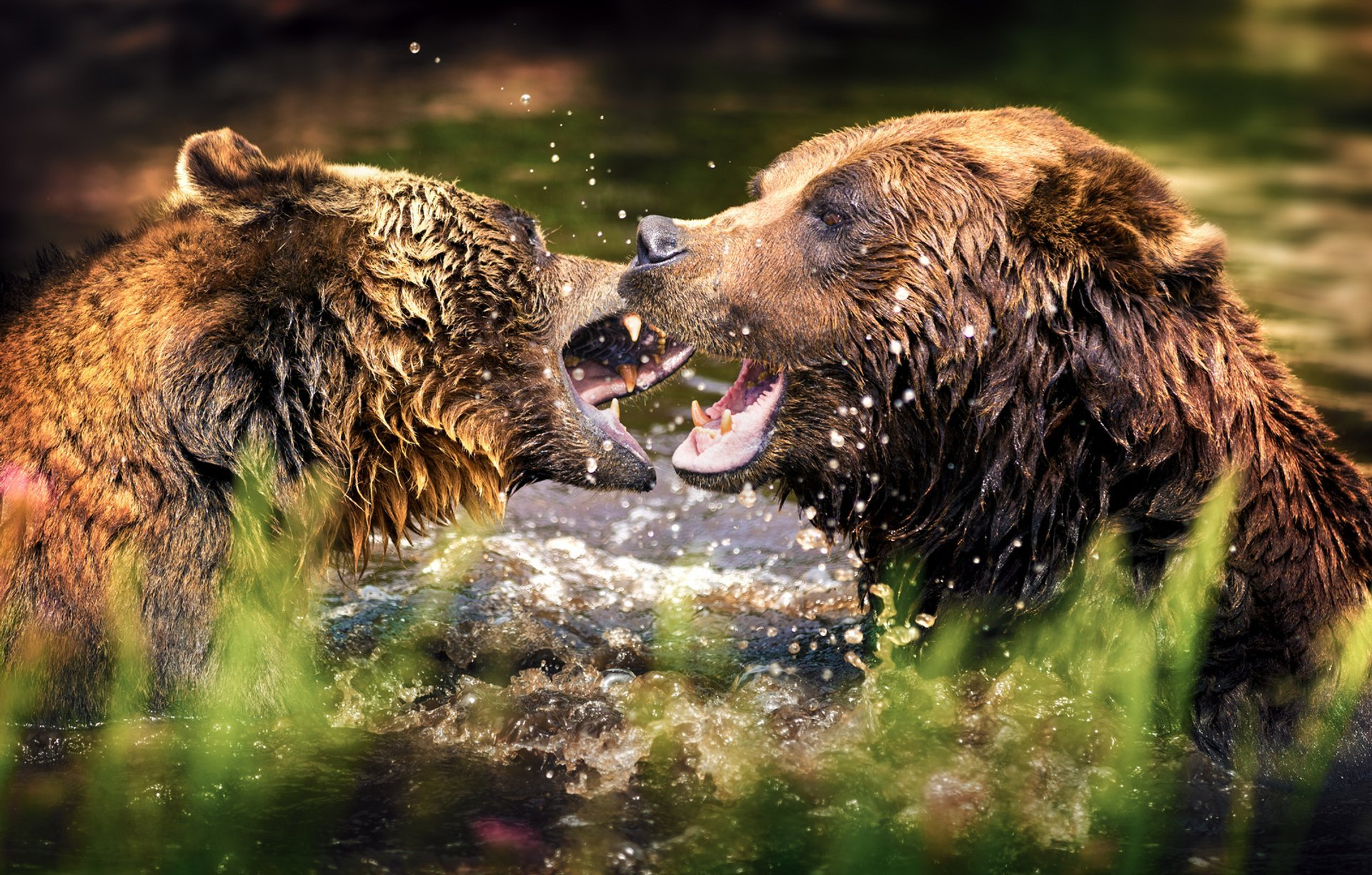 Grizzly Bear Watching in British Columbia - Best Season 2020