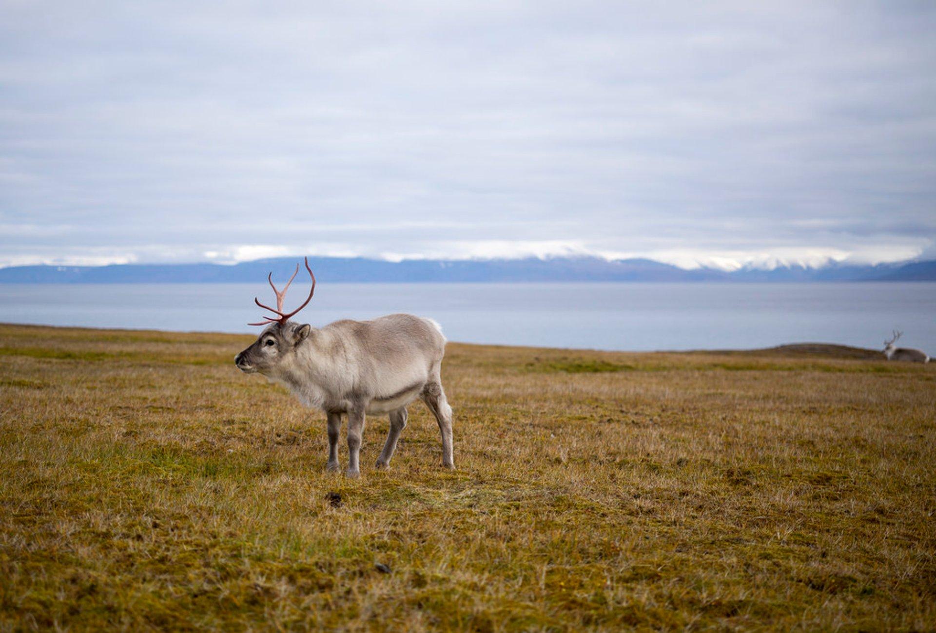 Best time to see Reindeer in Svalbard 2020