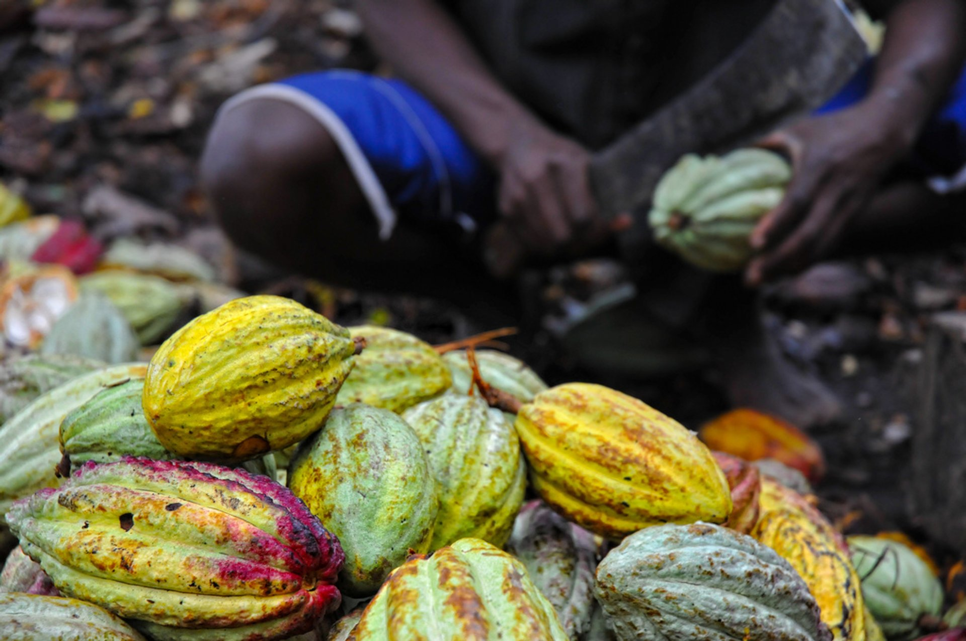 Cutting the cocoa pods 2020