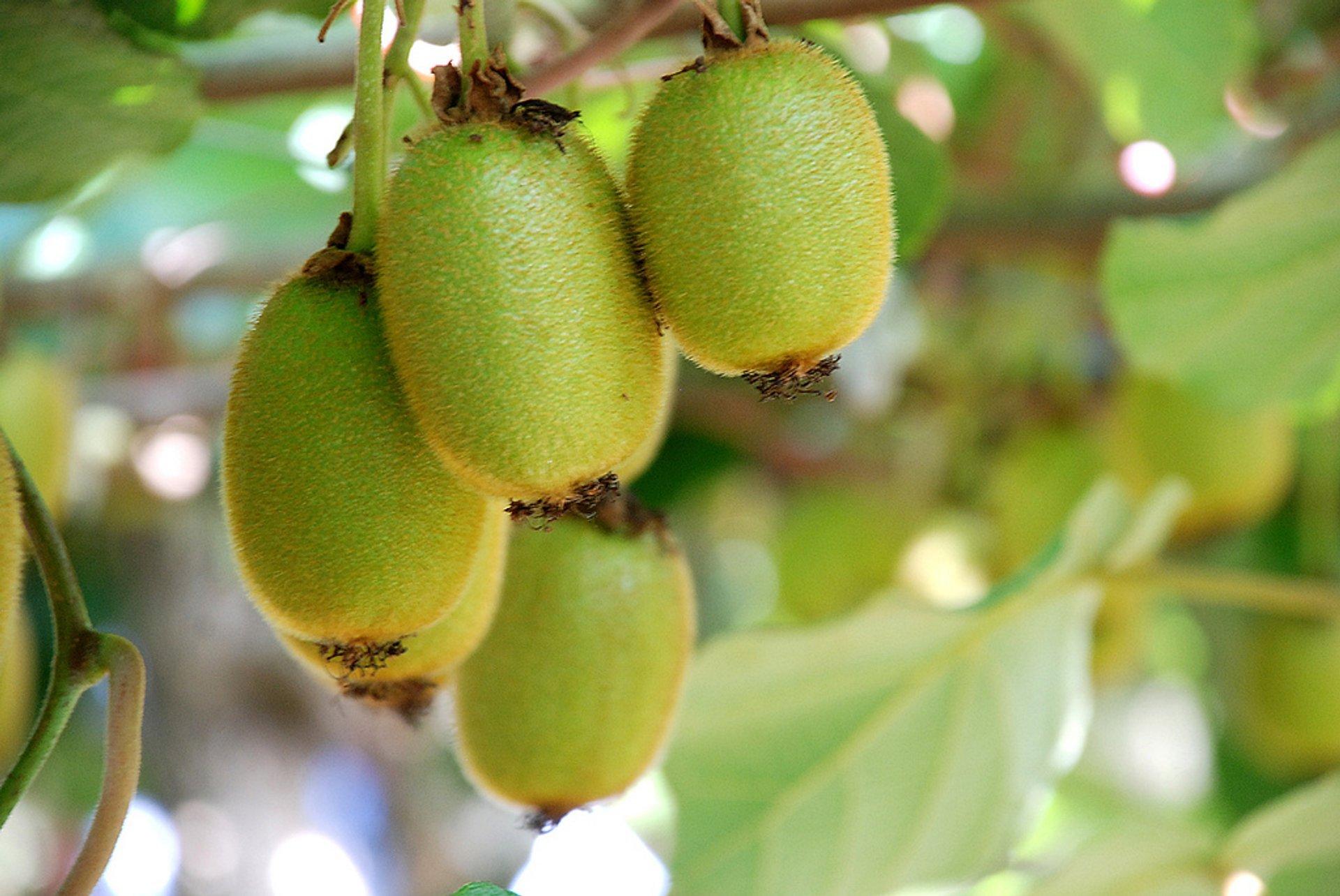 Golden Kiwifruit in New Zealand - Best Time