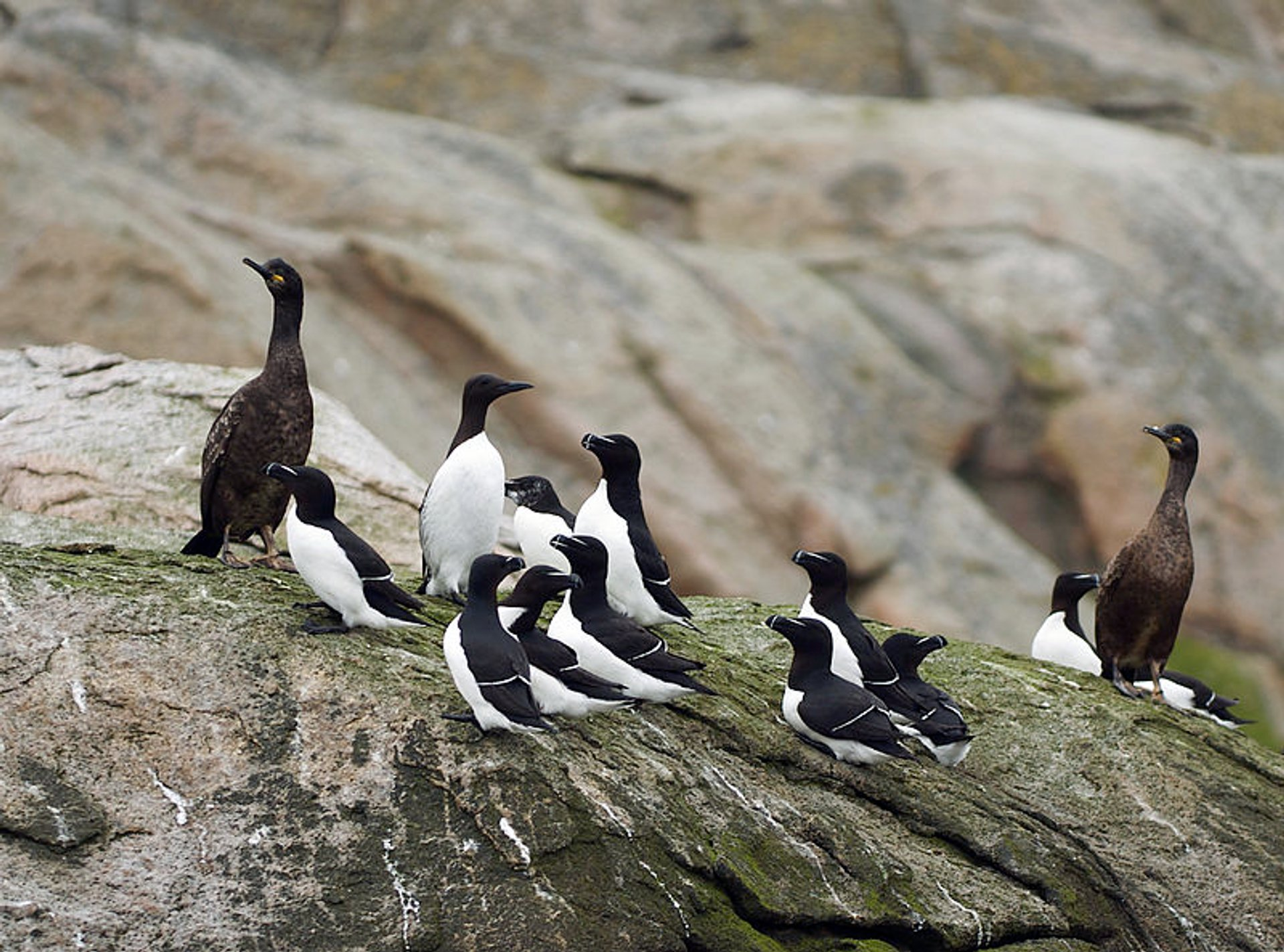 Best time for Brunnich's Guillemot Bird Bazaar in Svalbard
