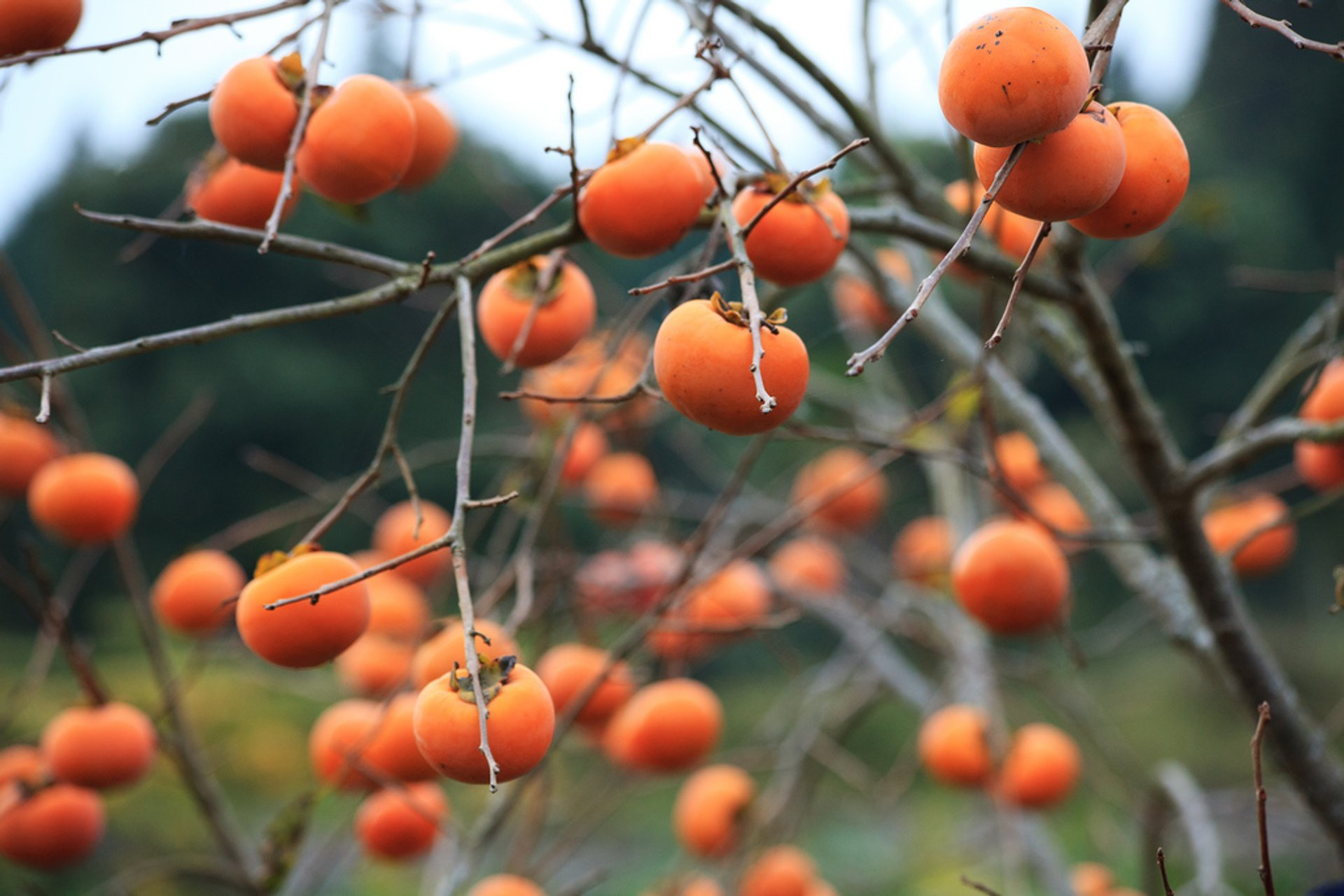 Kaki or Japanese Persimmon in Japan - Best Season 2020