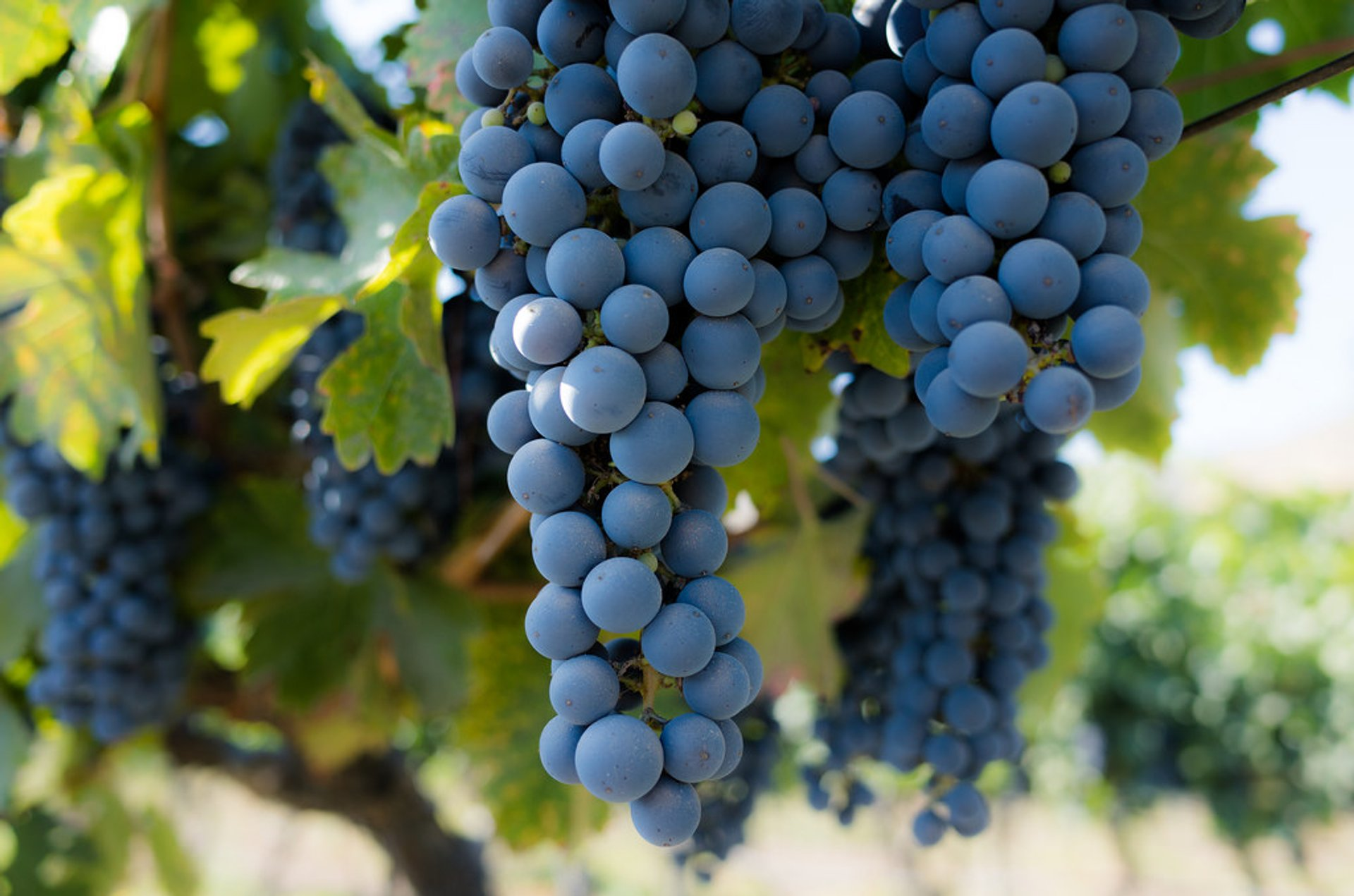 Grape Harvest in Chile 2020 - Best Time