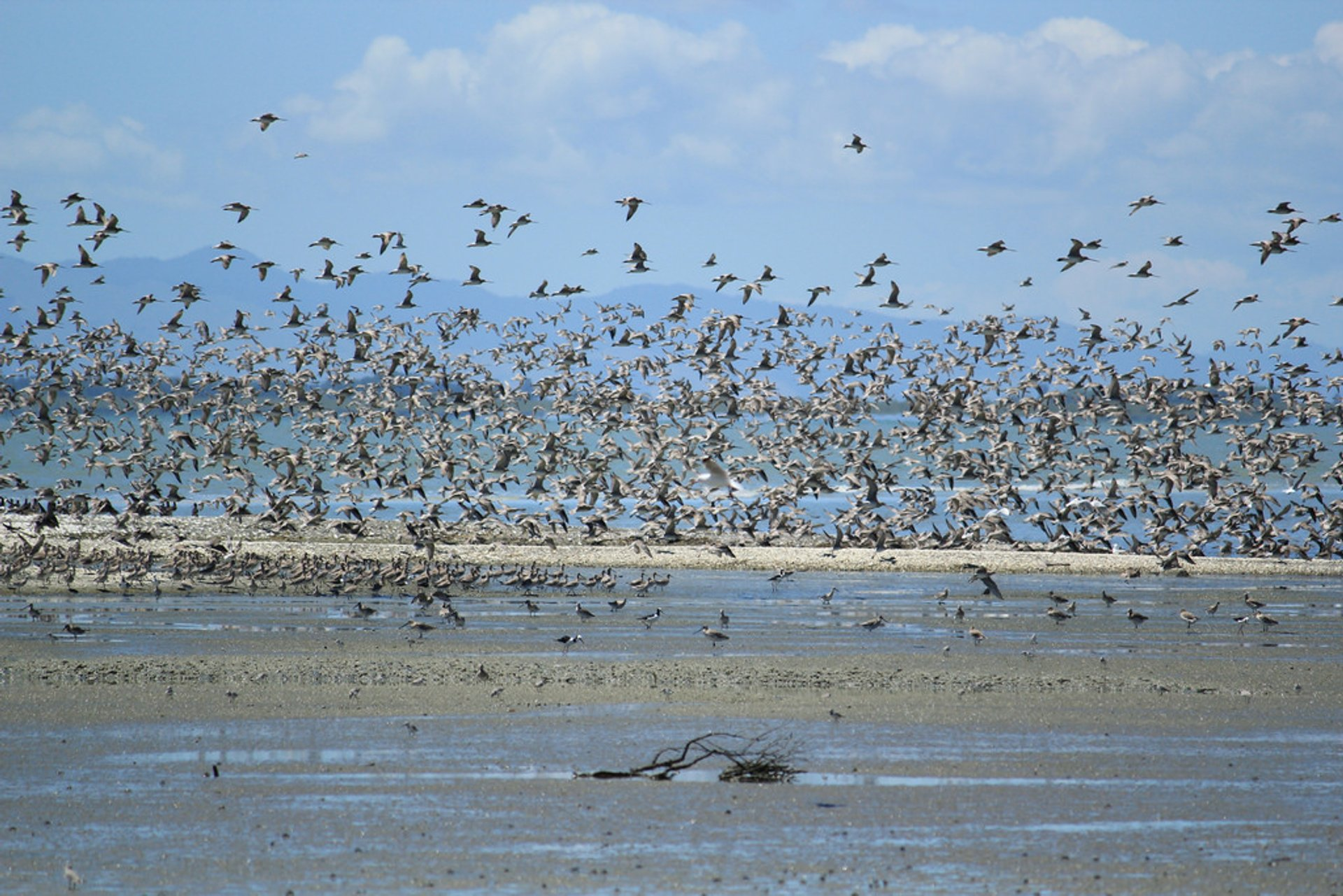 Bar-Tailed Godwits in New Zealand 2019 - Best Time