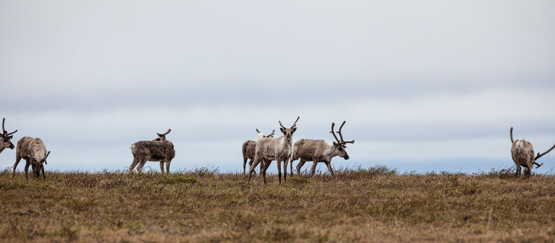 Caribou Spring Migration in Alaska - Best Season 2020