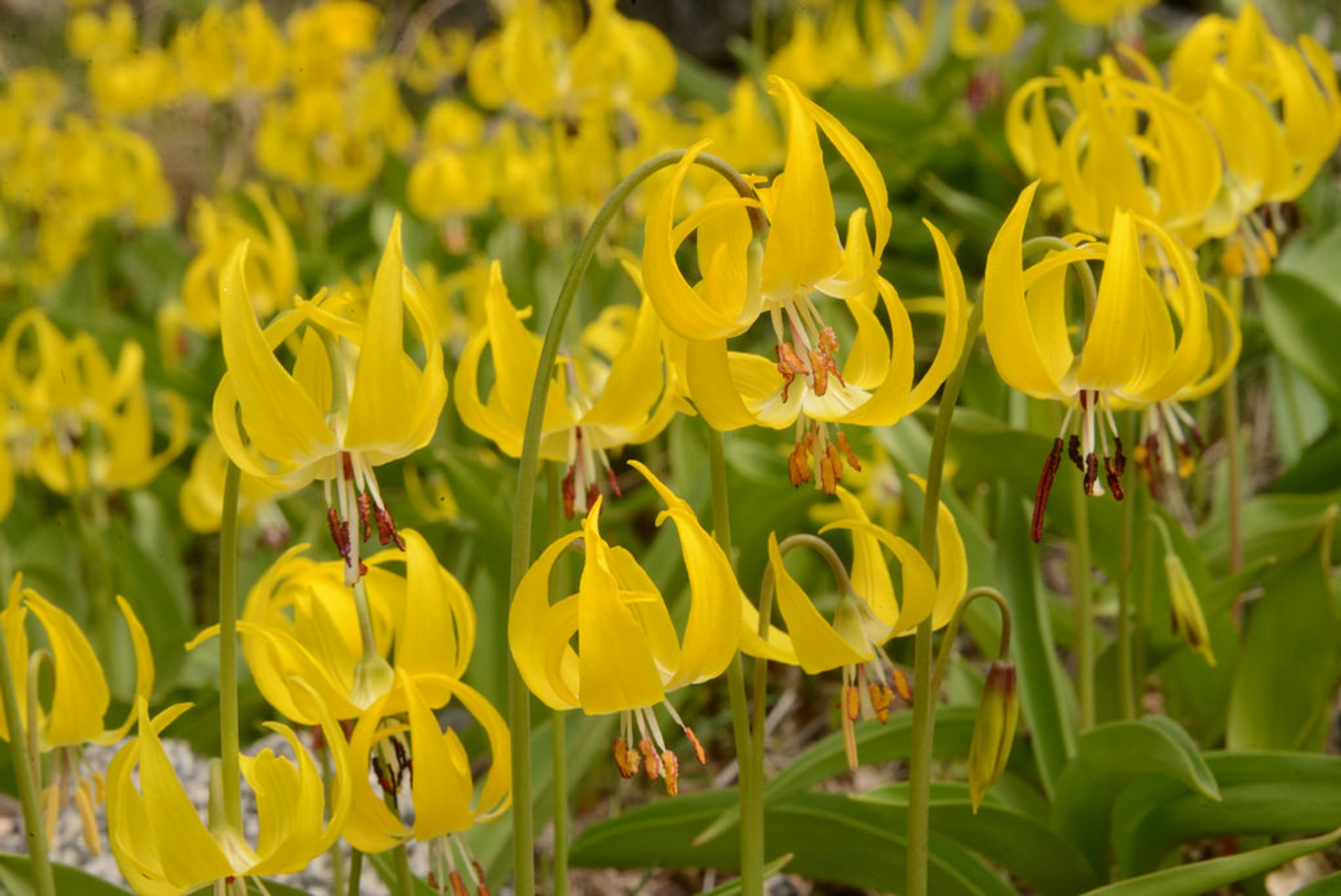 Glacier Lilies (Erythronium grandiflorum) overload, Icicle Road, Leavenworth, Washington
