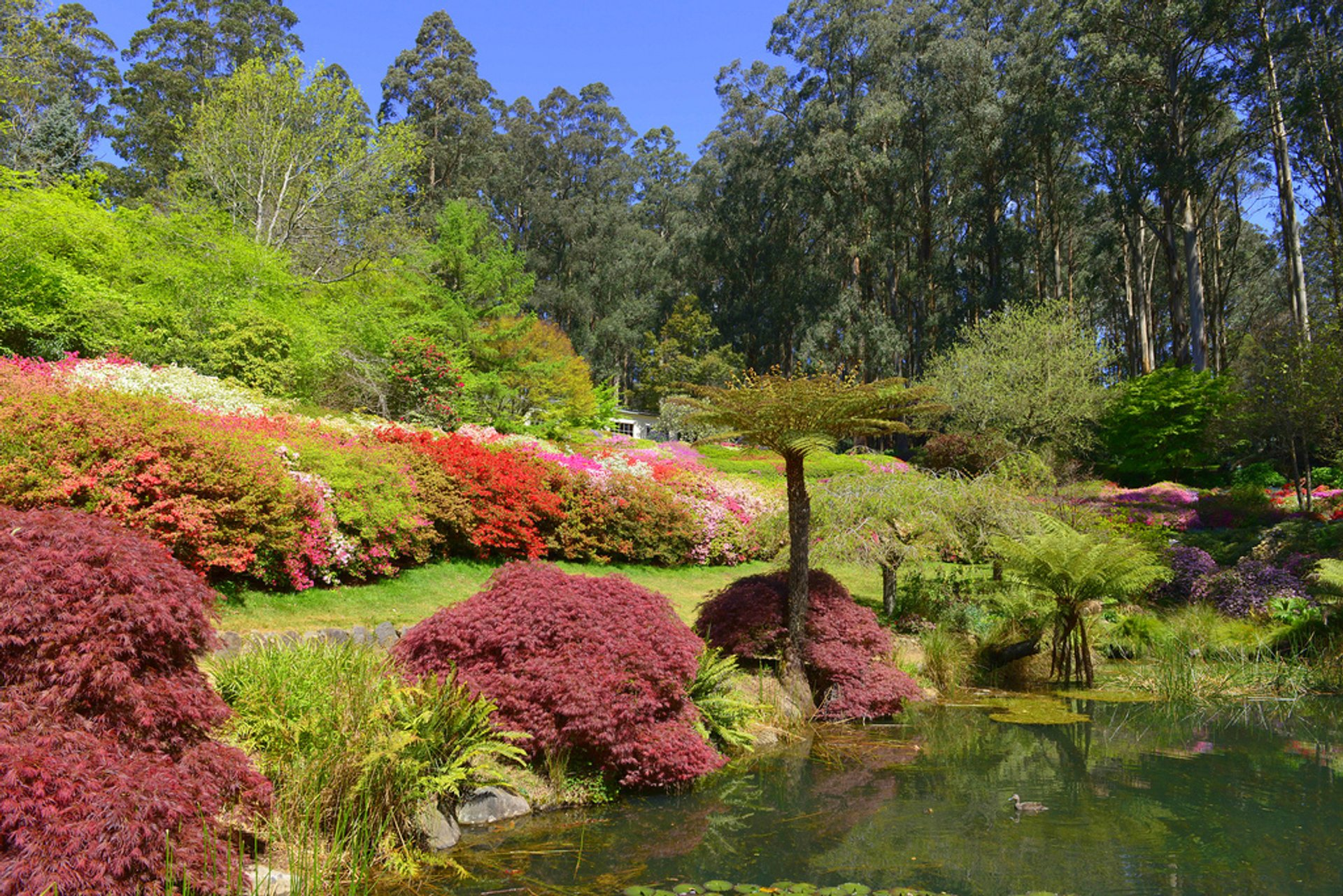 Best time to see Rhododendron Blooming in Dandenong Ranges Botanic Garden in Victoria 2020