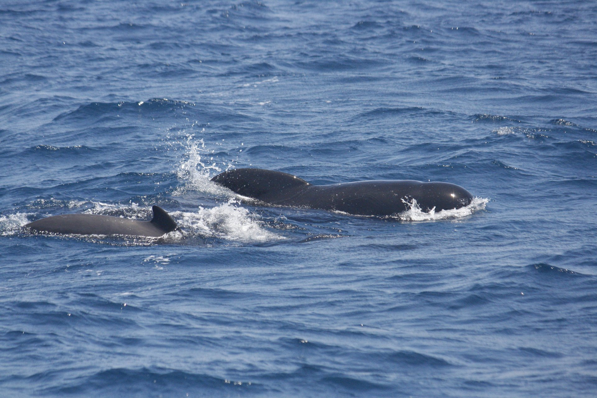 Long-finned pilot whale 2020