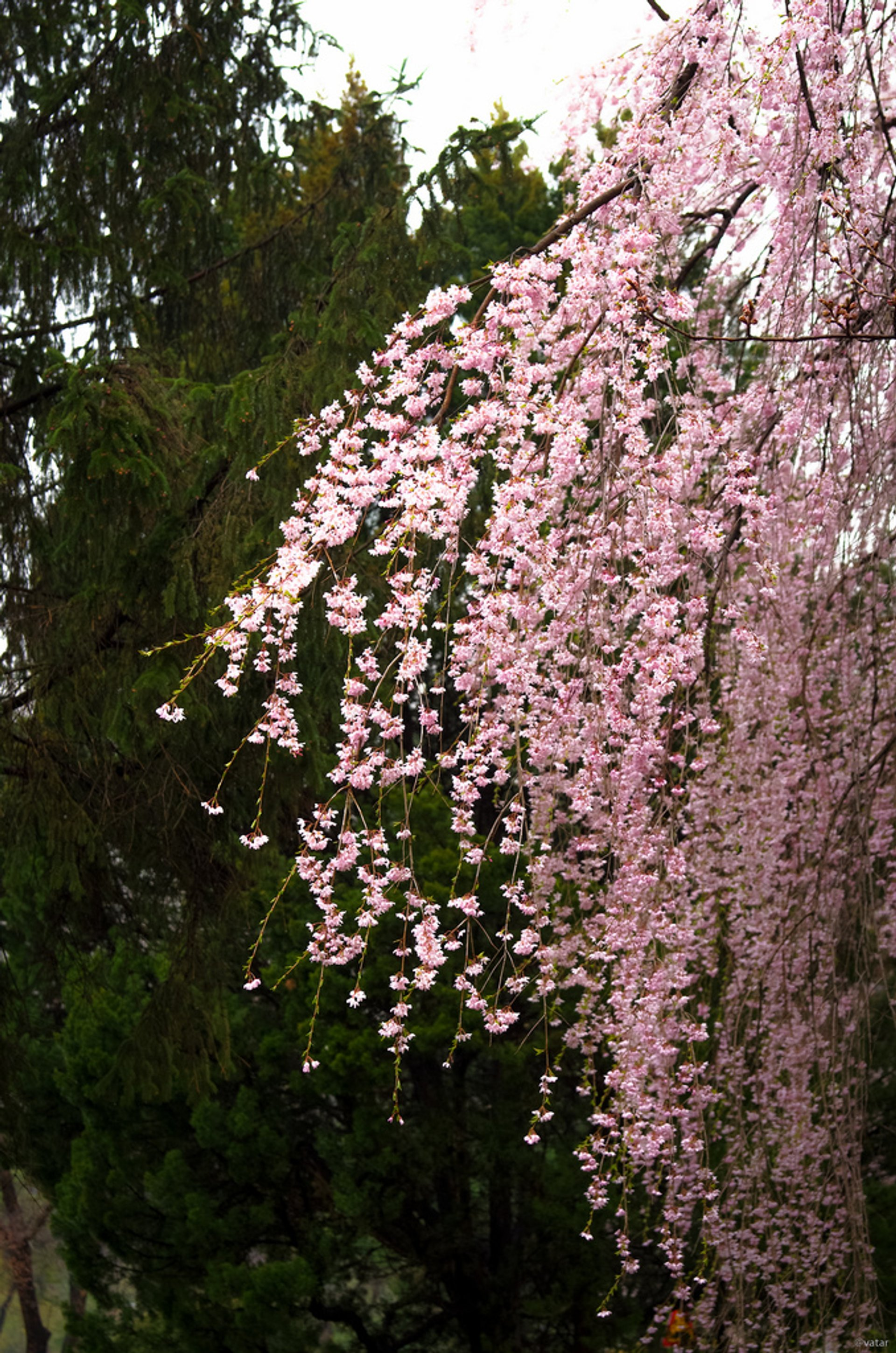 Weeping Cherry Blossoms in Seoul - Best Season 2020