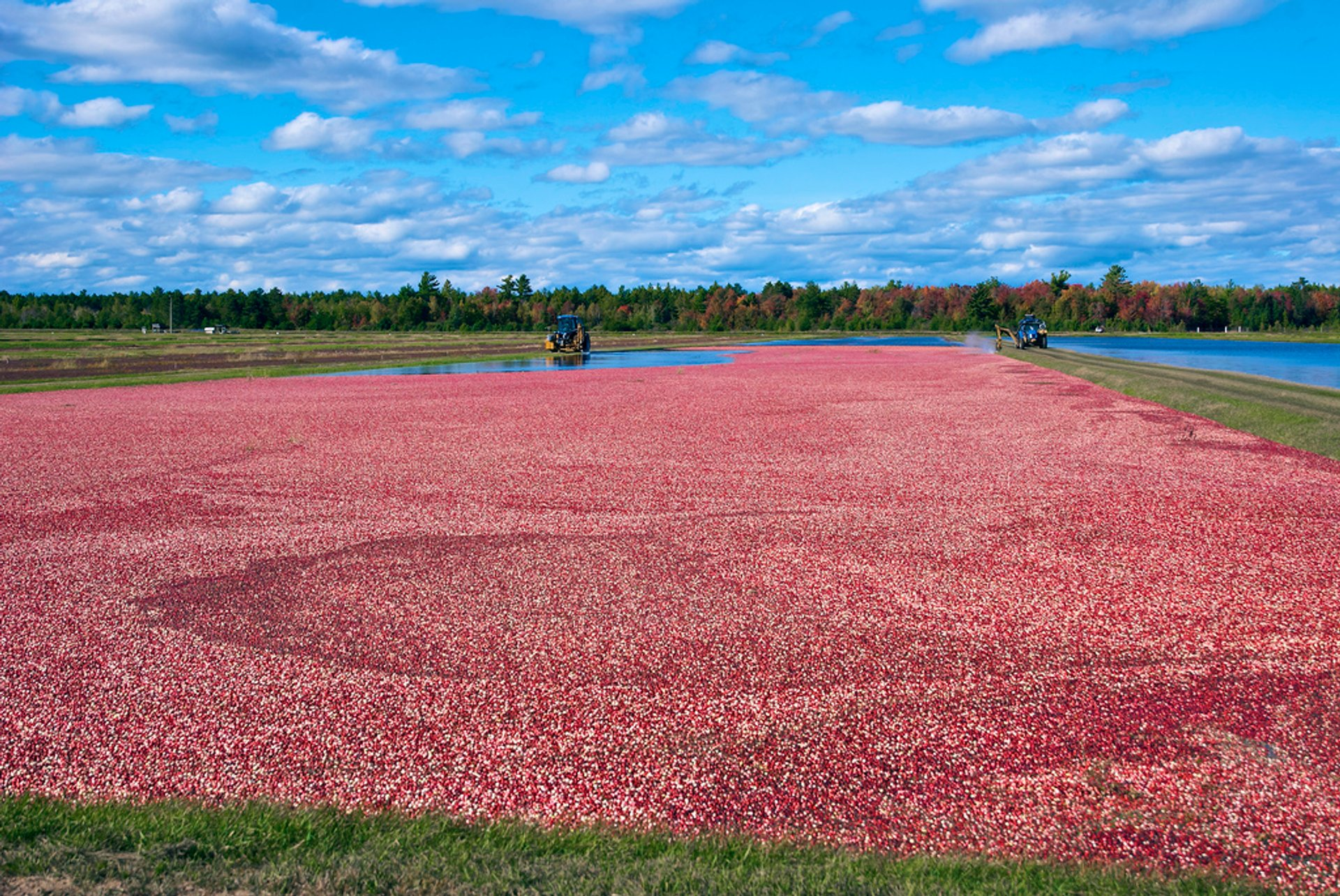 Wisconsin Cranberry Harvest in Midwest - Best Season