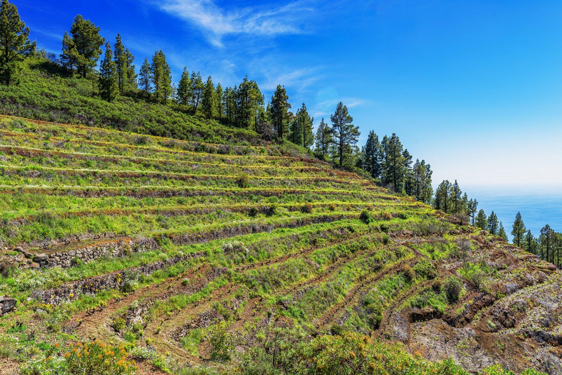 Vineyards on La Palma 2019