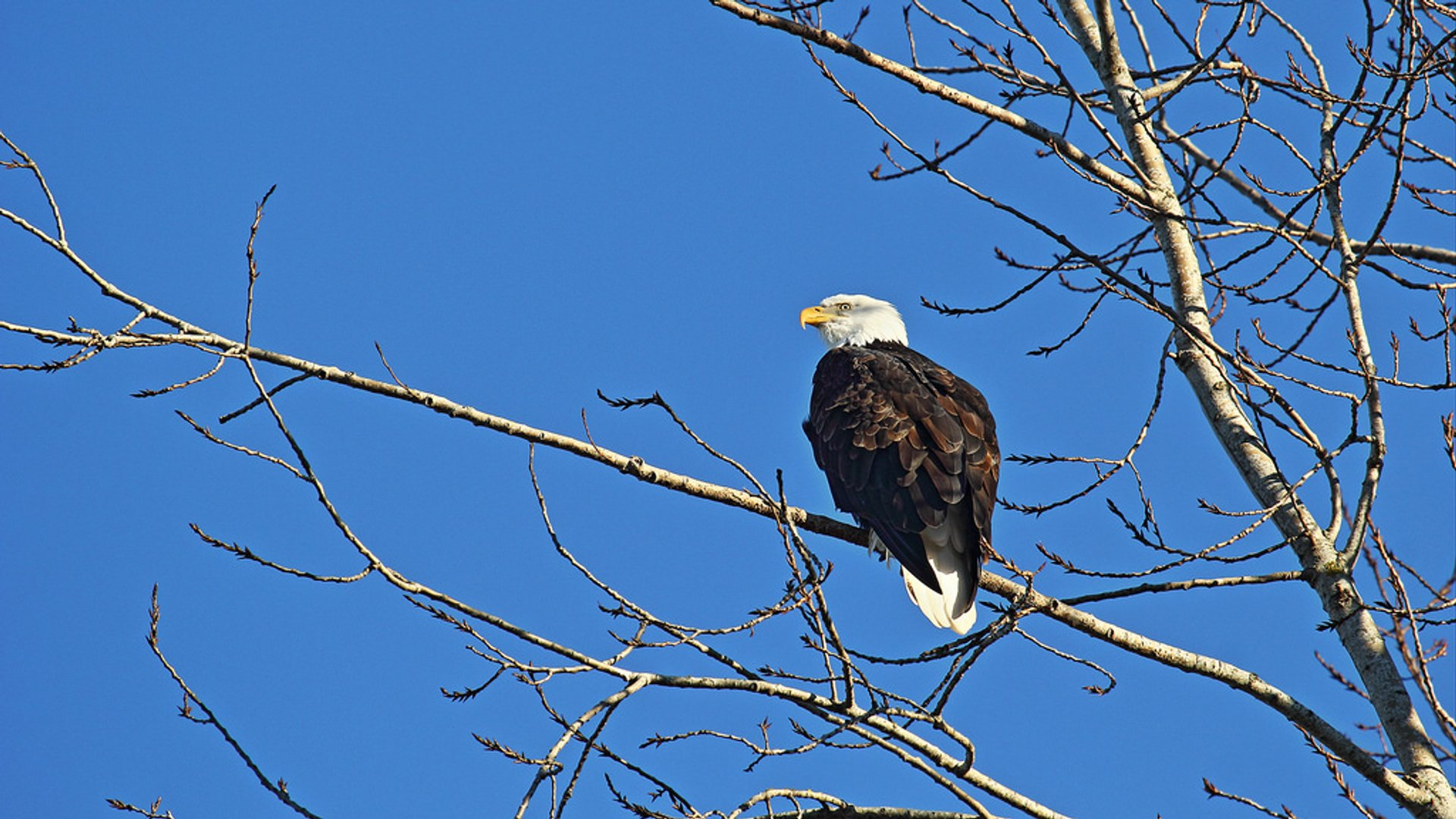Bald Eagle Count in Vancouver 2020 - Best Time