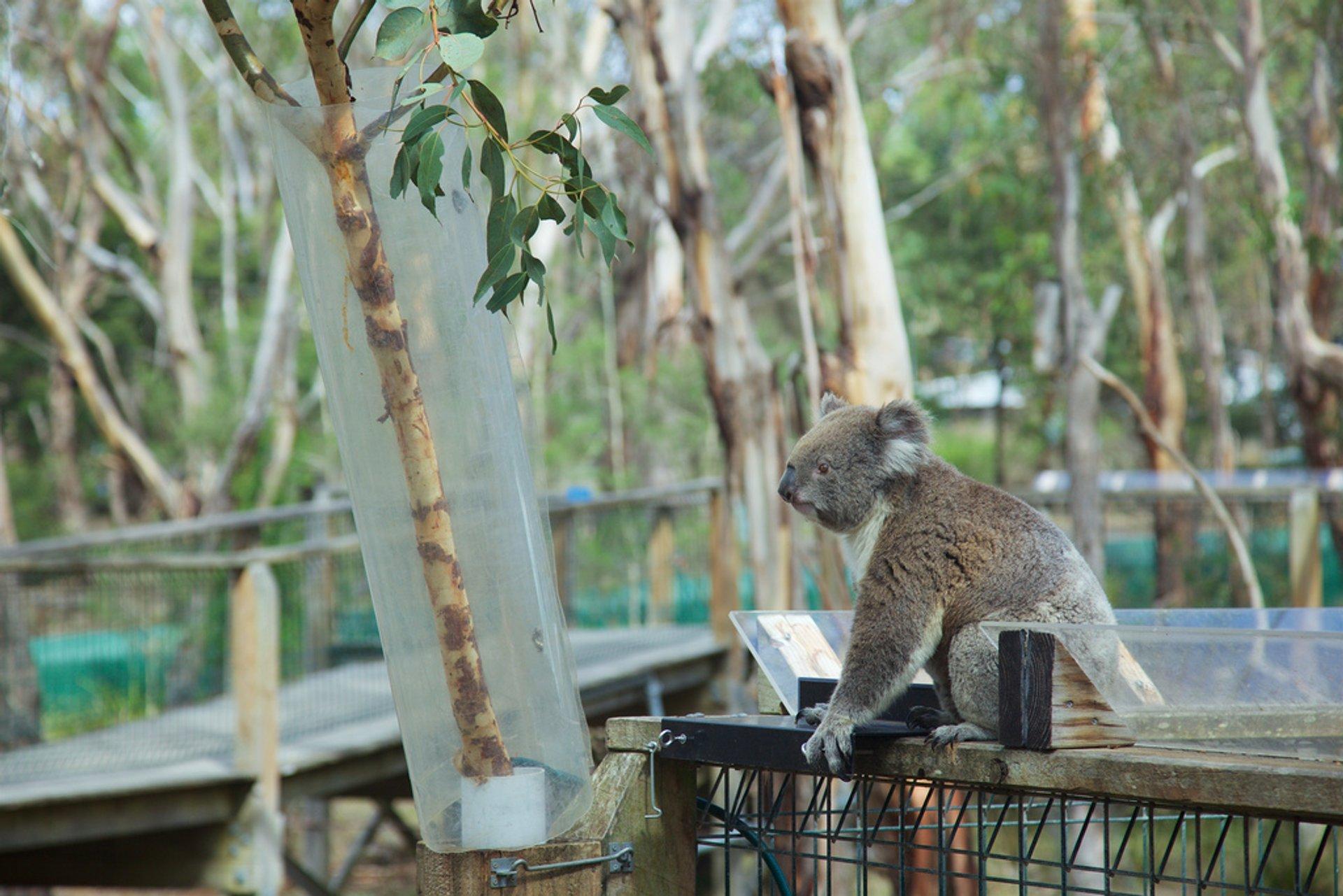 Koalas in Victoria - Best Season
