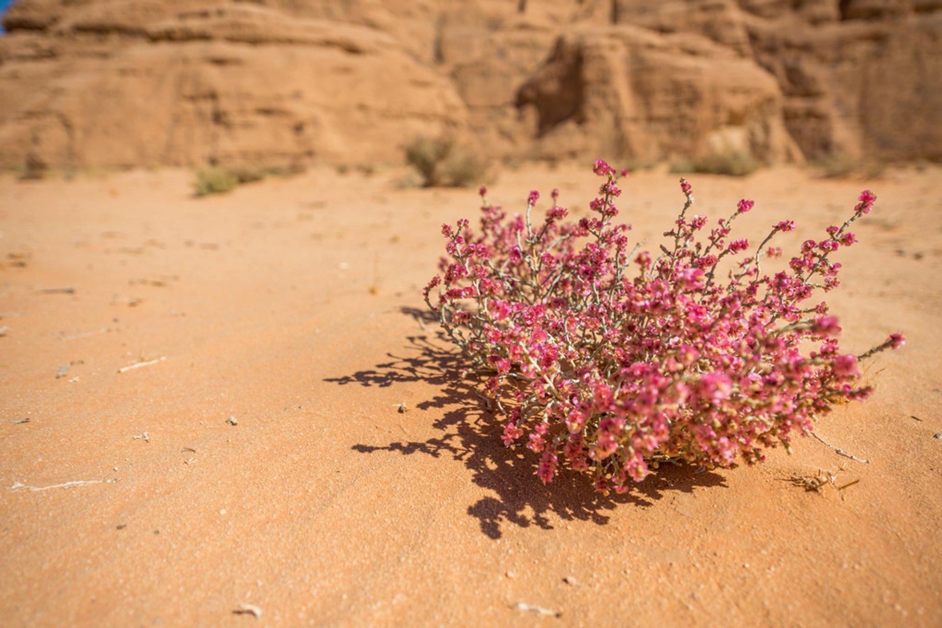 Best time to see Wadi Rum Desert in Bloom in Jordan 2020
