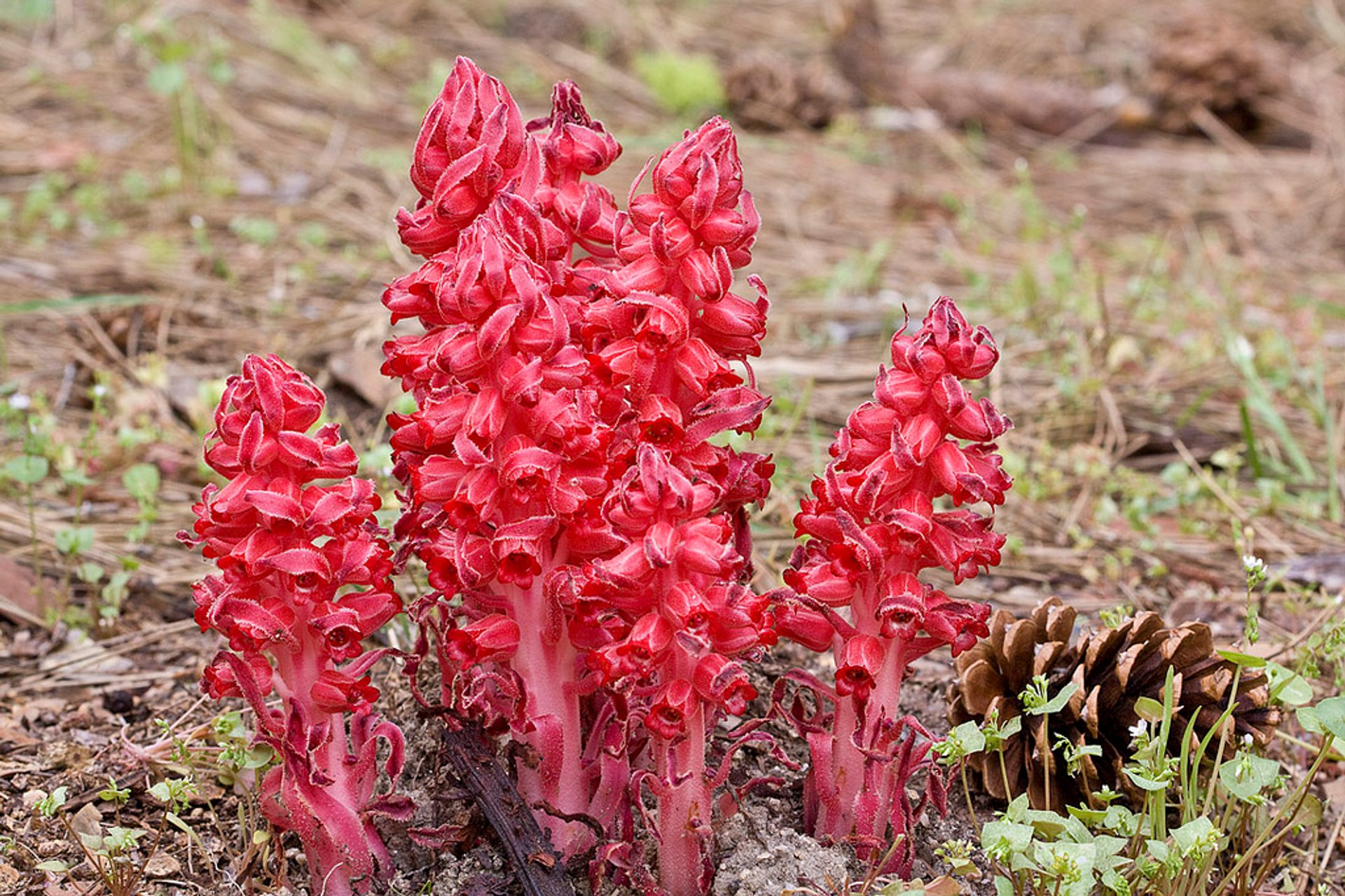 Best time for Snow Plant in Yosemite 2019