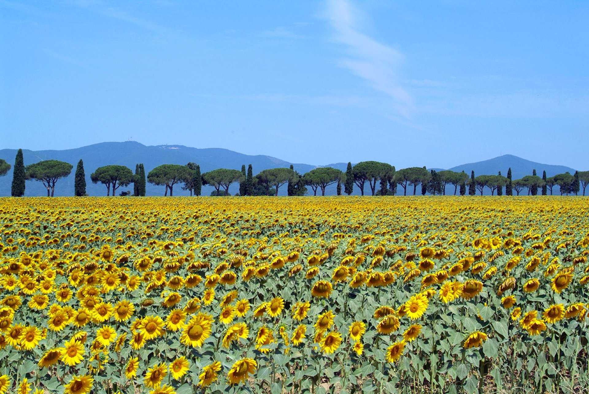 Sunflower Fields in Tuscany 2019 - Best Time