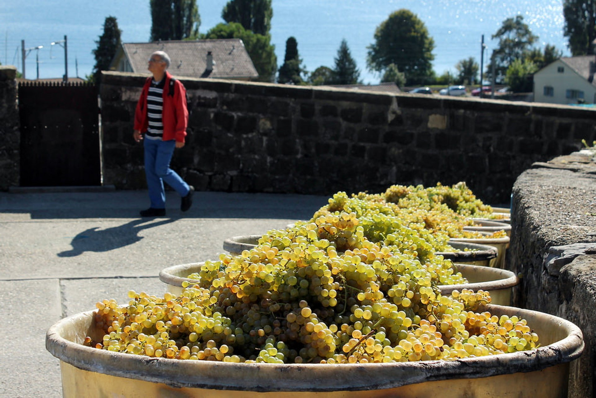 Grape Harvest and Wine Season in Switzerland - Best Season 2019