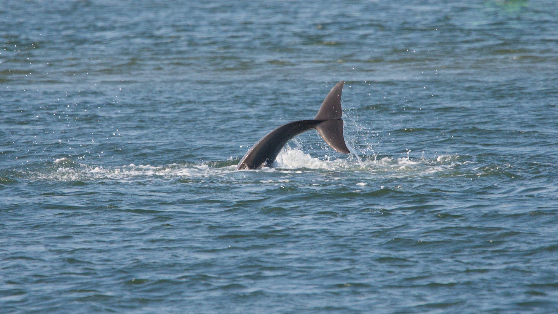 Bottlenose Dolphin 2020
