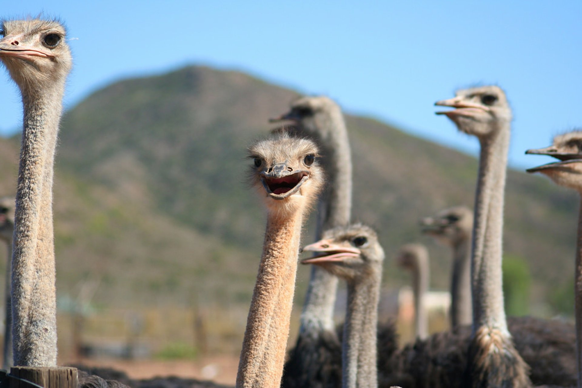 Oudtshoorn Ostriches in South Africa 2019 - Best Time
