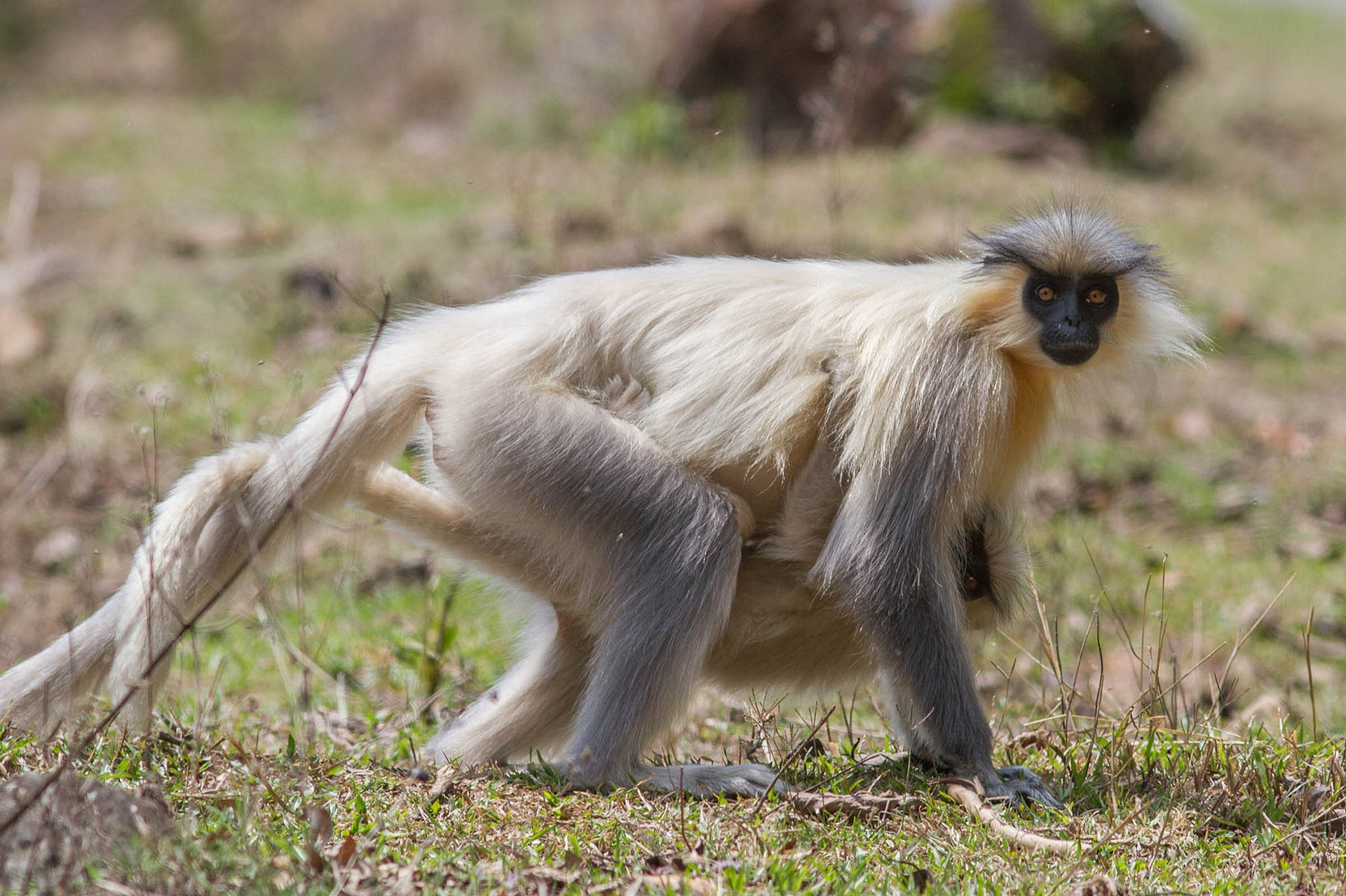 Best time for Golden Langur Mating Season in Bhutan 2020