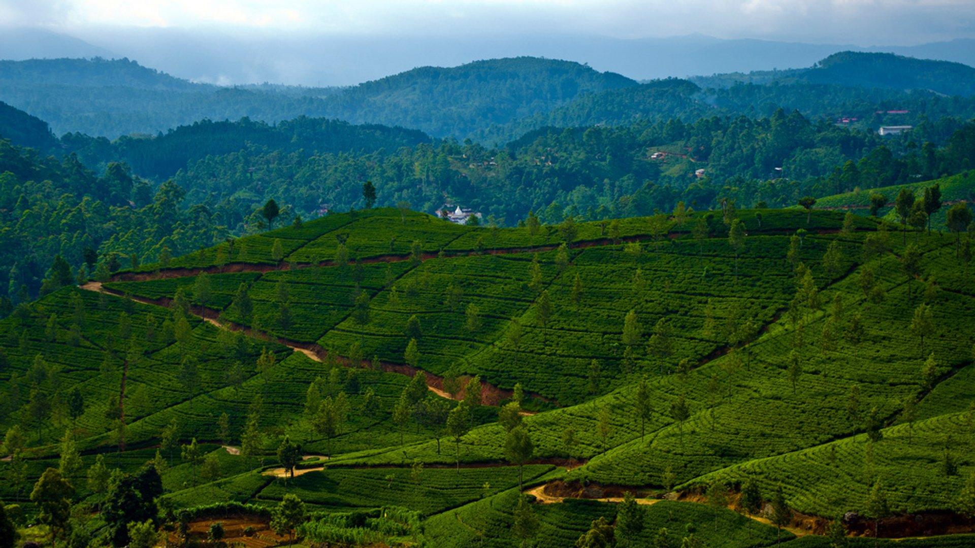 Uva Tea Harvest in Sri Lanka - Best Season