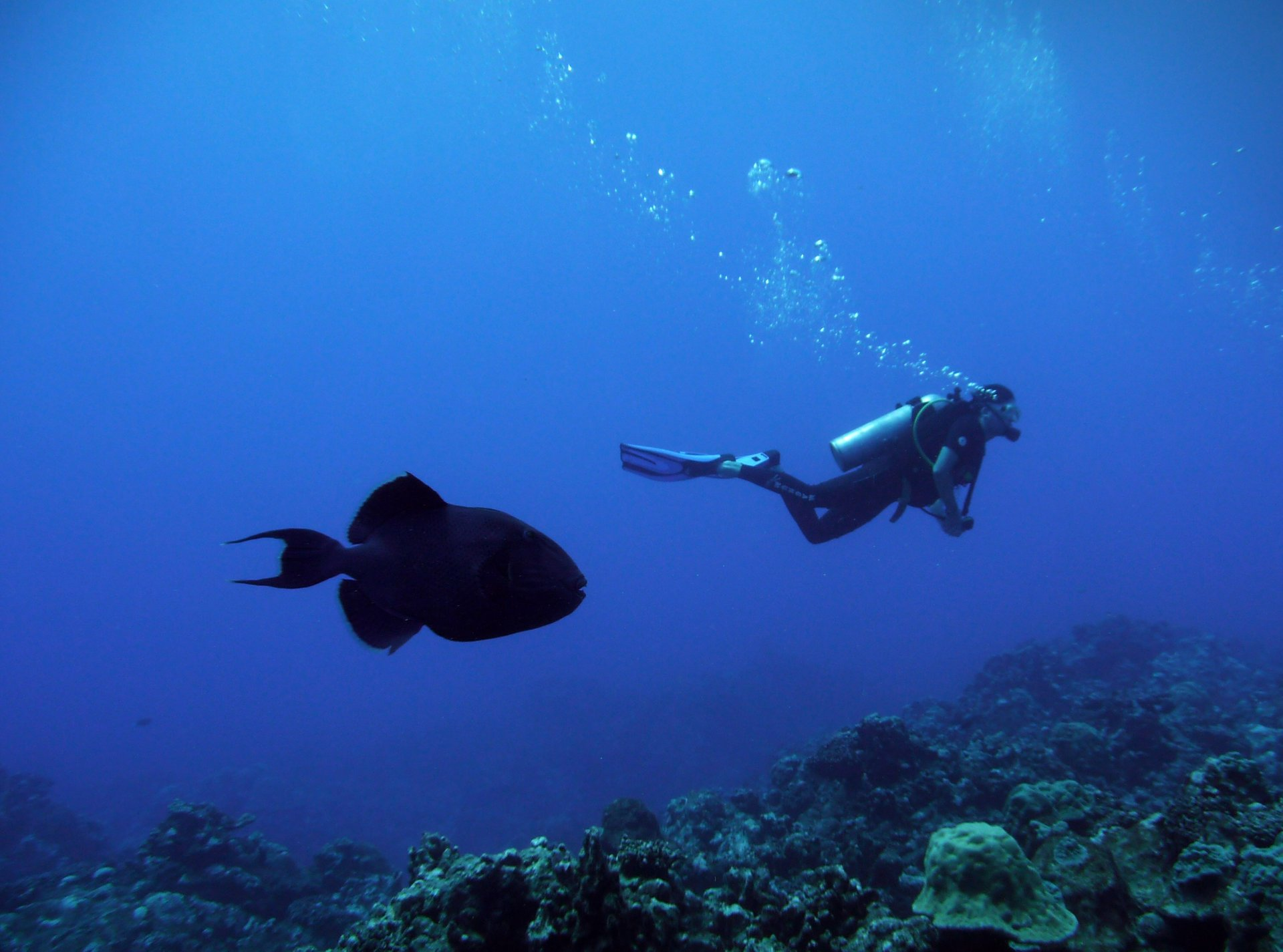 Triggerfish off the Rarotonga island 2019