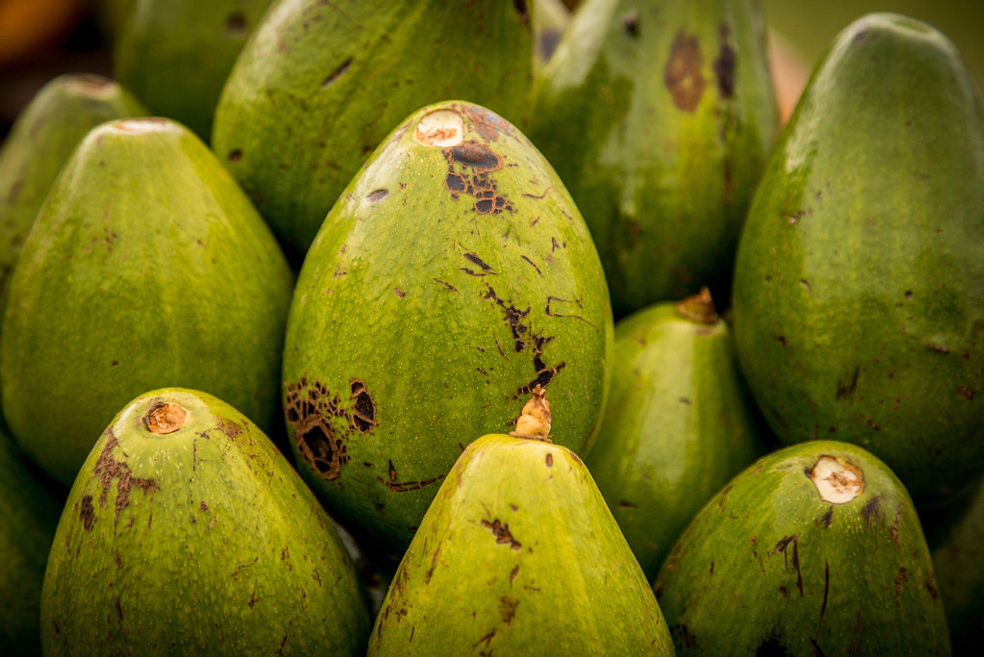 Best time for Avocado Season in Cuba 2020