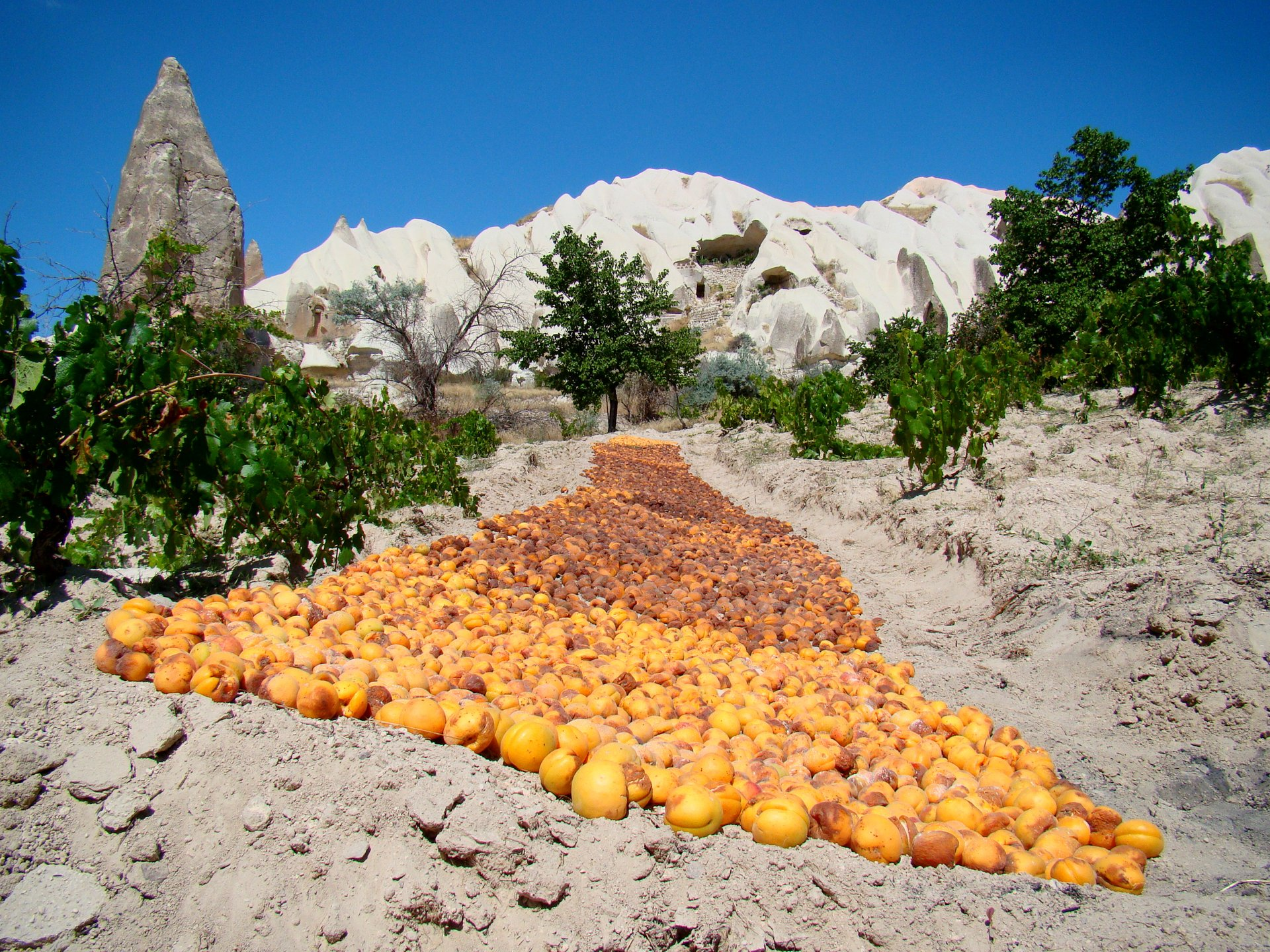 Dried Apricots in Cappadocia - Best Season 2019