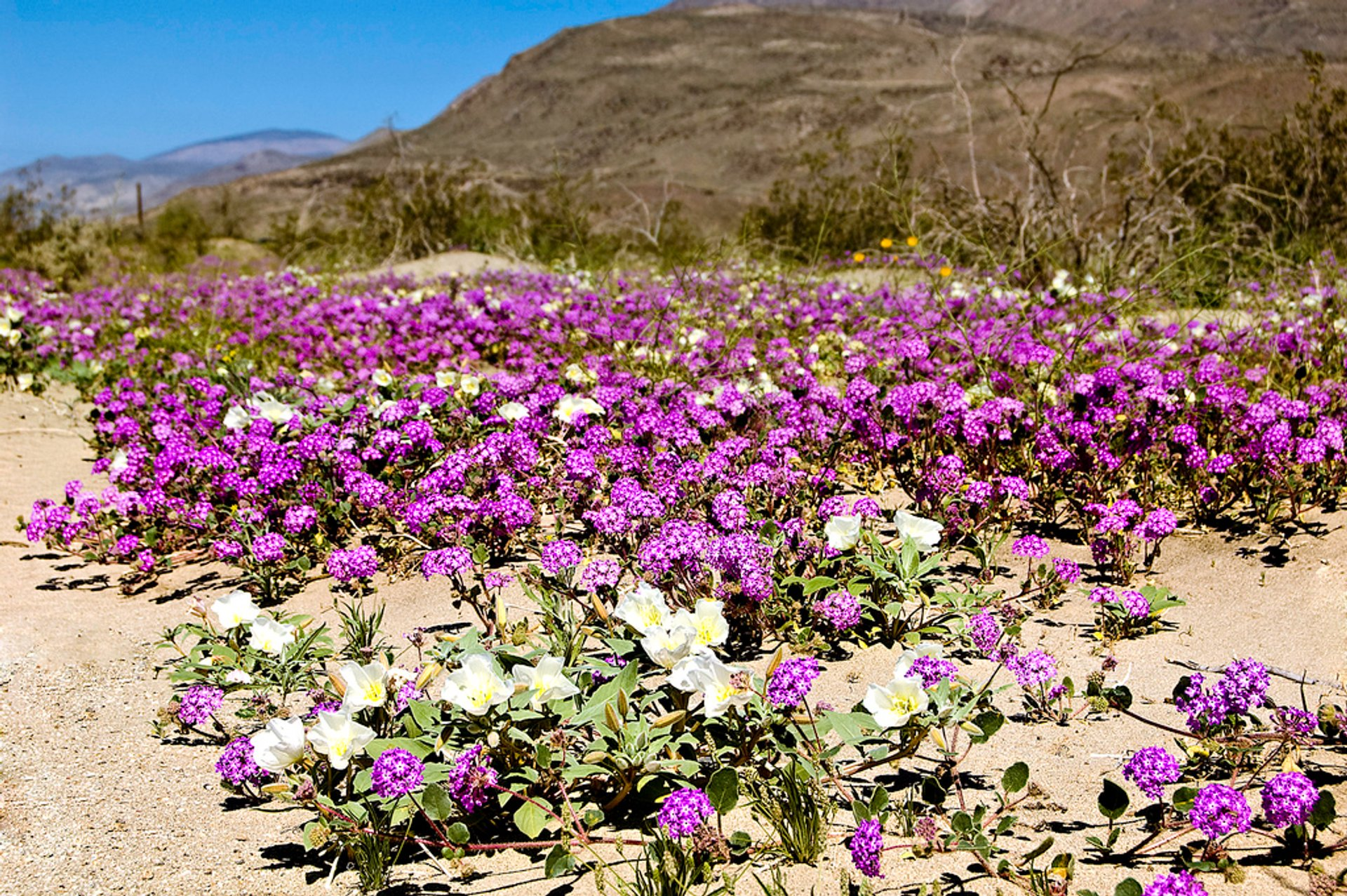 Best time for Anza-Borrego Desert Super Bloom in California 2020