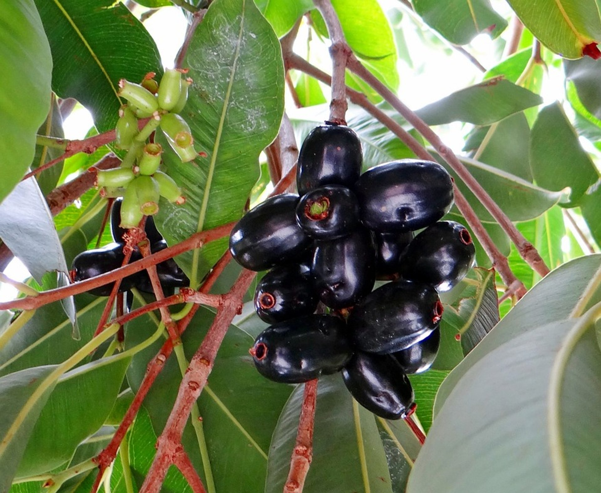 Jamun in Goa 2020 - Best Time