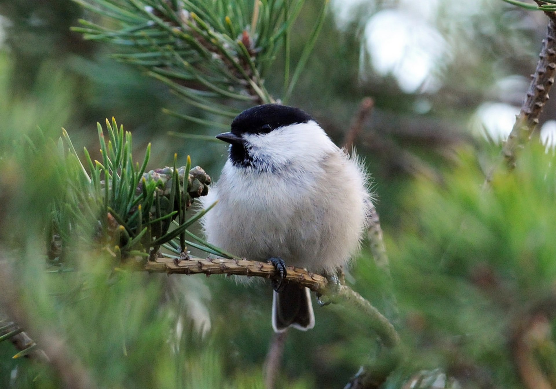 Willow Tit 2020